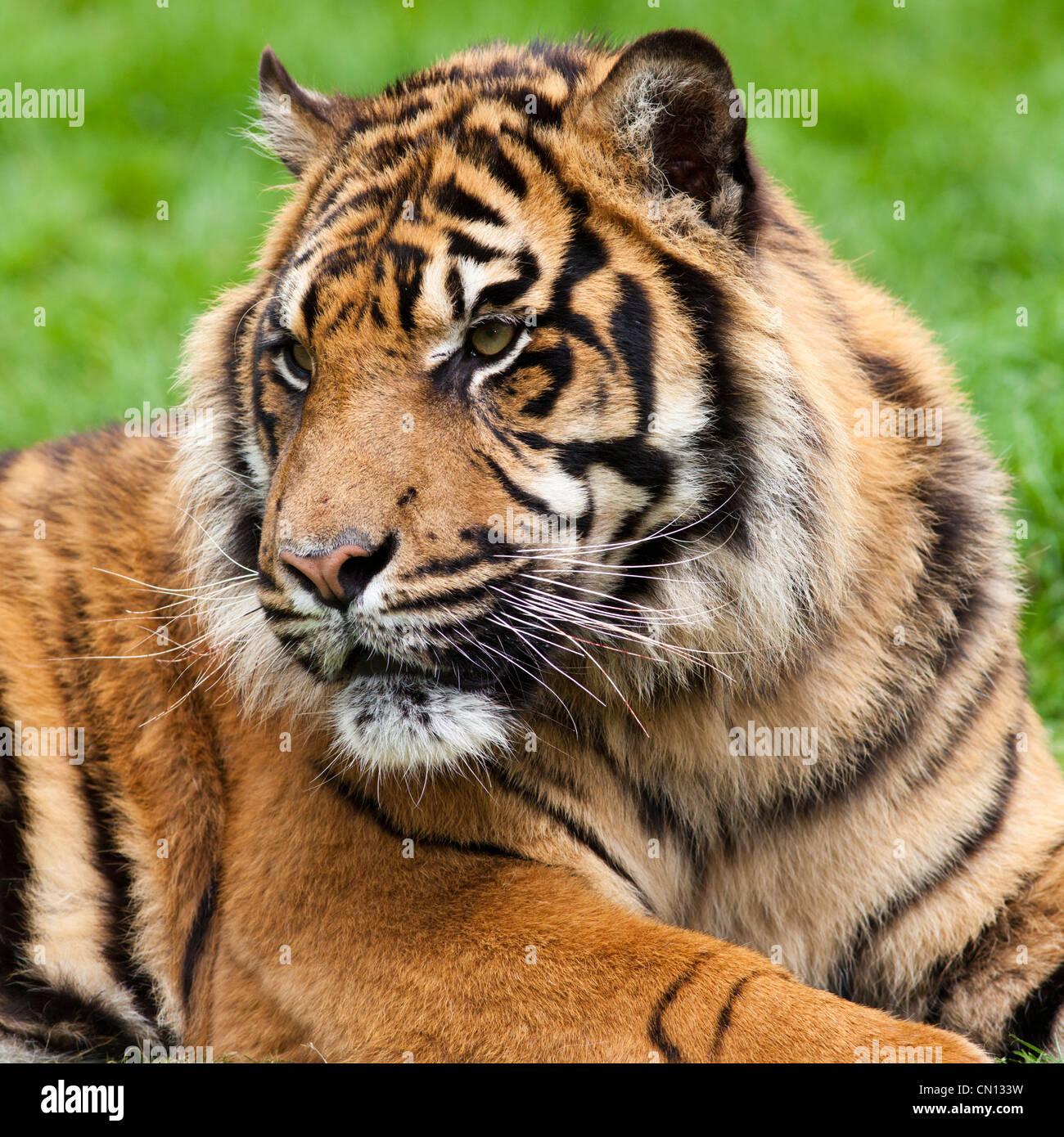 - El tigre (Panthera tigris) - Cerrar en vertical Imagen De Stock
