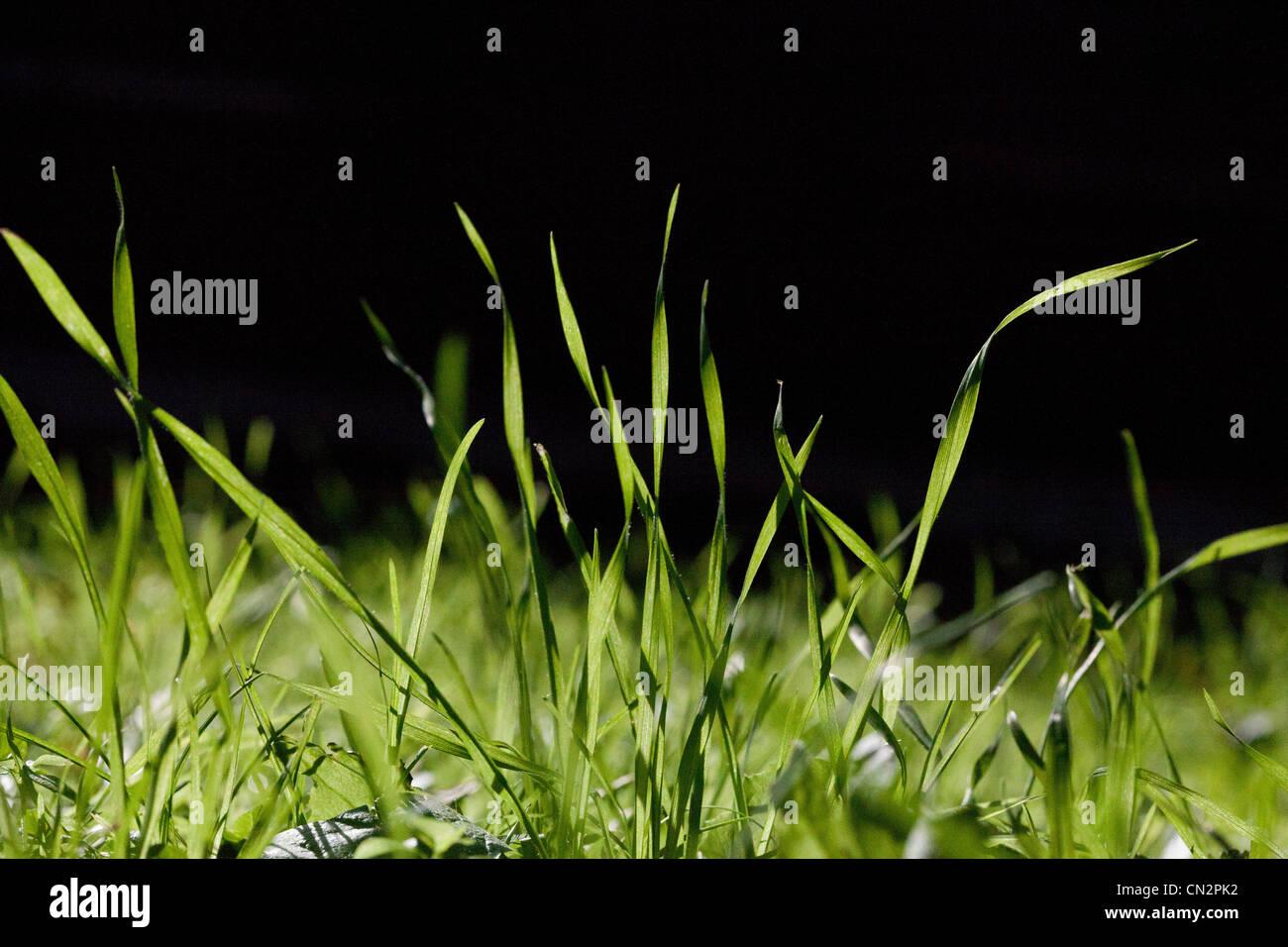 Briznas de hierba, cerrar Imagen De Stock