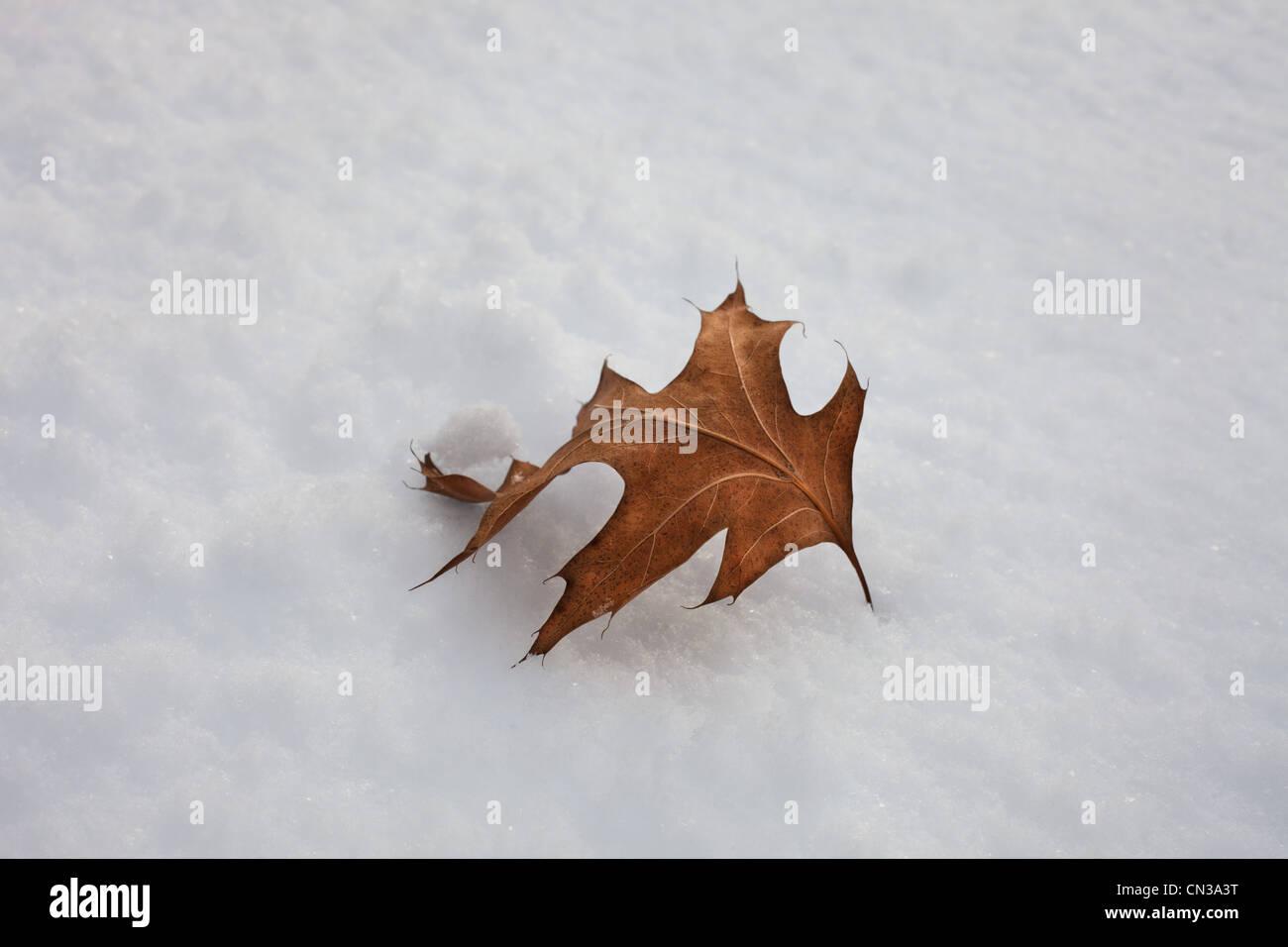 Hoja única en la nieve. Imagen De Stock