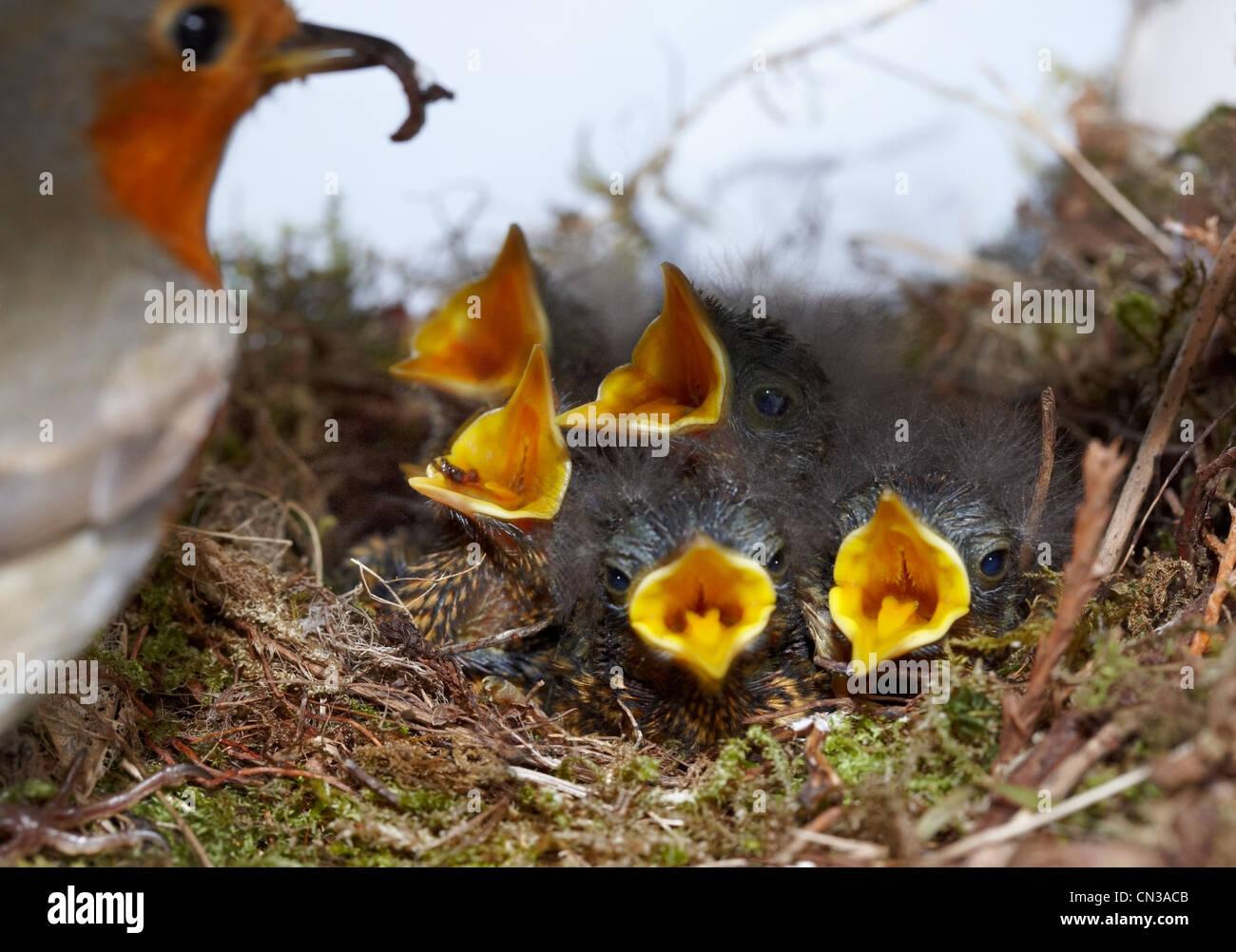 Robin con cinco polluelos en el nido Imagen De Stock