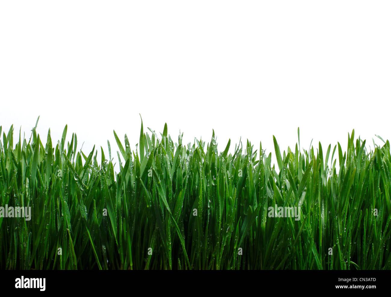 Briznas de hierba contra el fondo blanco. Foto de stock