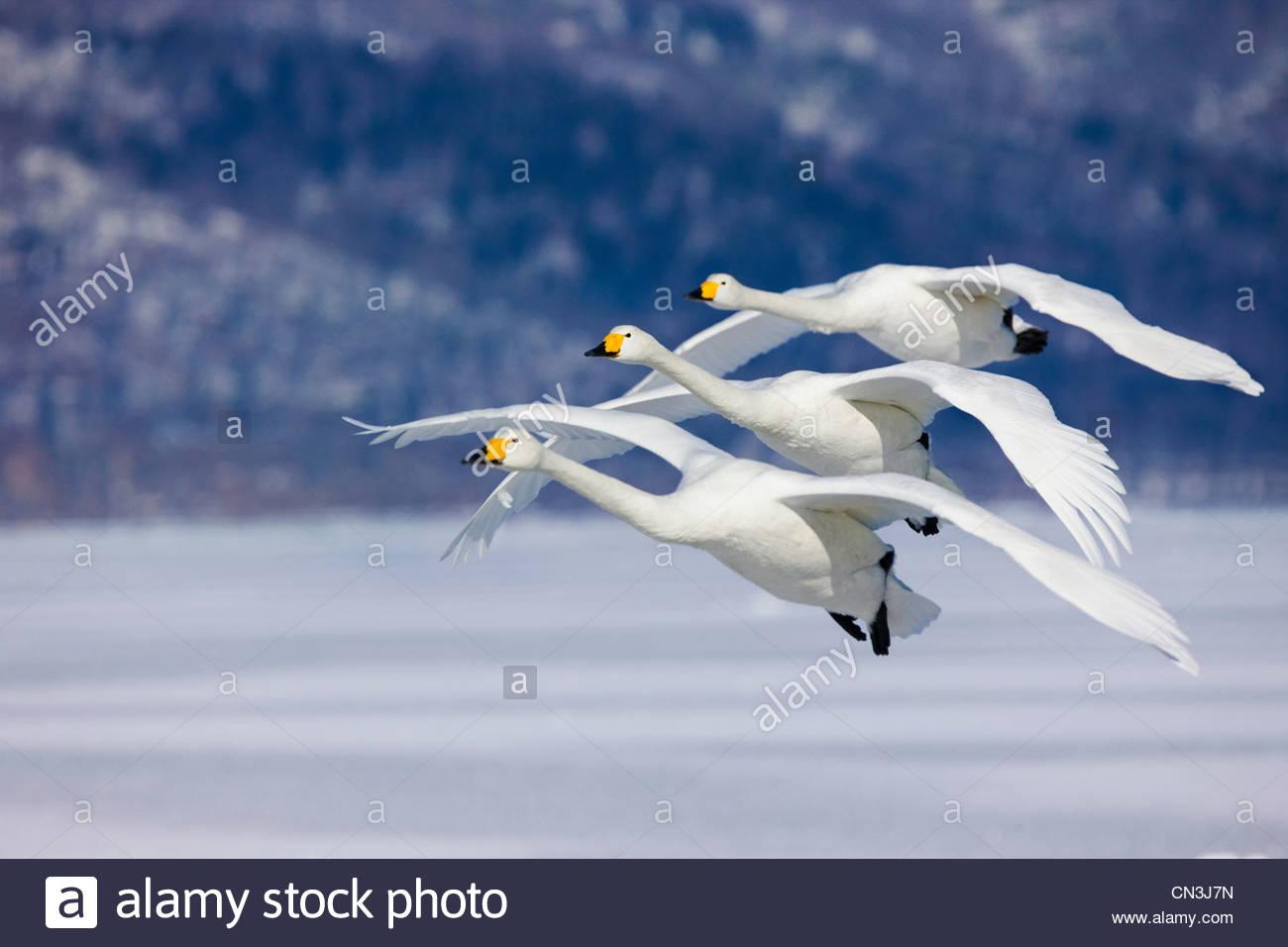 Tres cisnes cantores volar al unísono, en la isla de Hokkaido, Japón Imagen De Stock