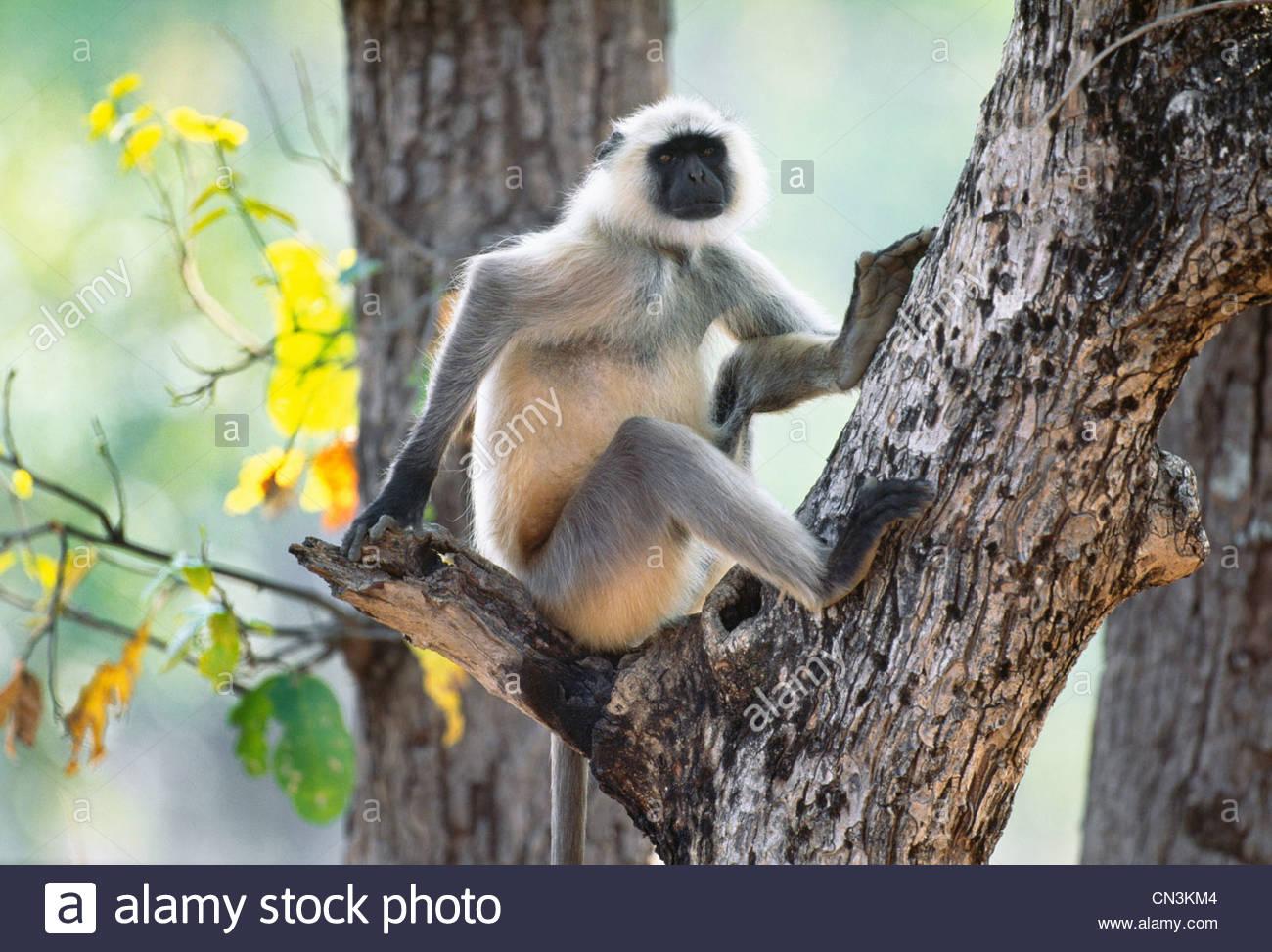 Hanuman langur, Parque Nacional Ranthambhore, India Imagen De Stock