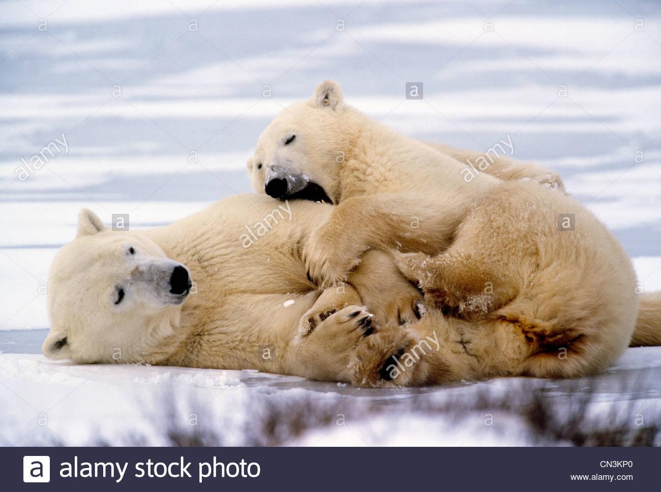 Oso Polar juega con segundo año cub, Churchill, Manitoba, Canadá Imagen De Stock