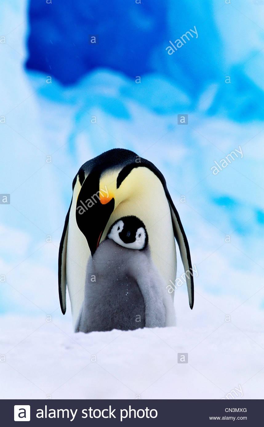 El pingüino emperador y el pollo Imagen De Stock