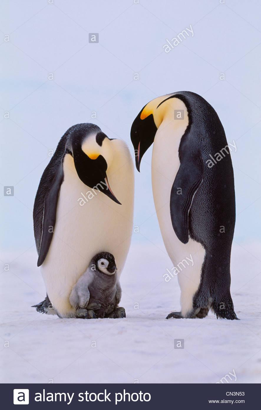 Los pingüinos emperador y el pollo, la Antártida Imagen De Stock