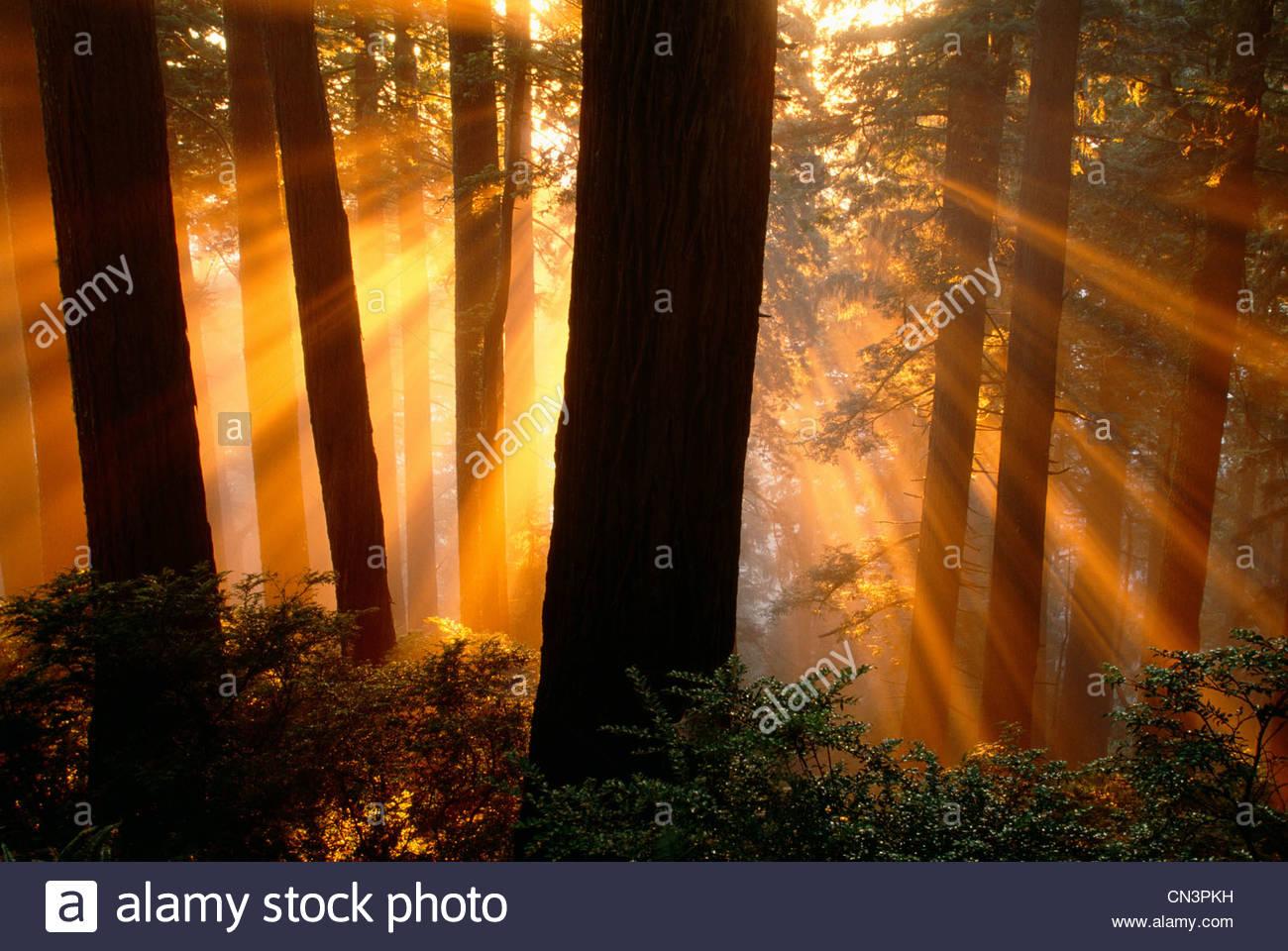 Los rayos del sol en Redwood National Park, California Imagen De Stock