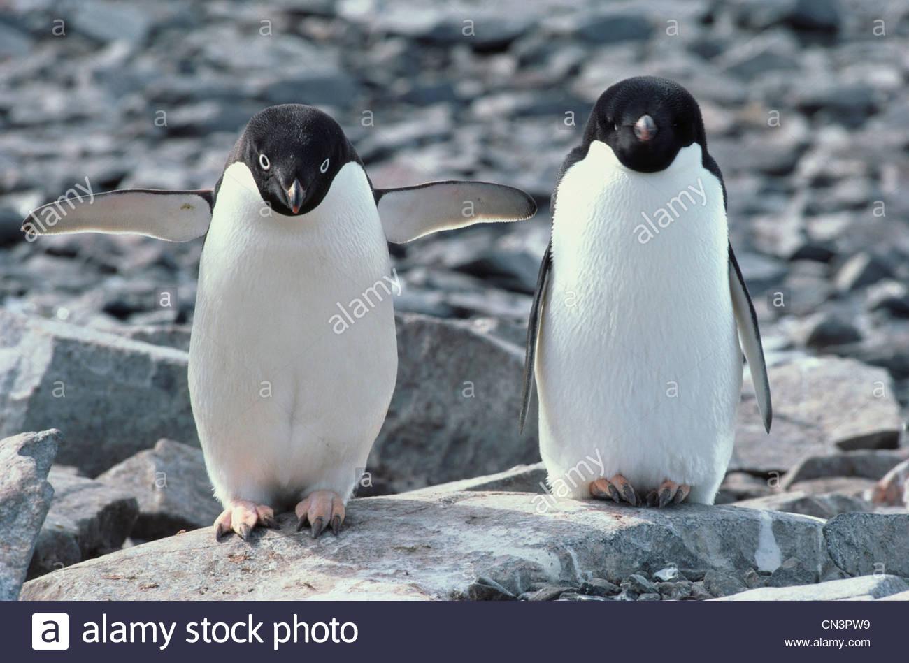 Par de pingüinos Adelia, la Antártida Imagen De Stock
