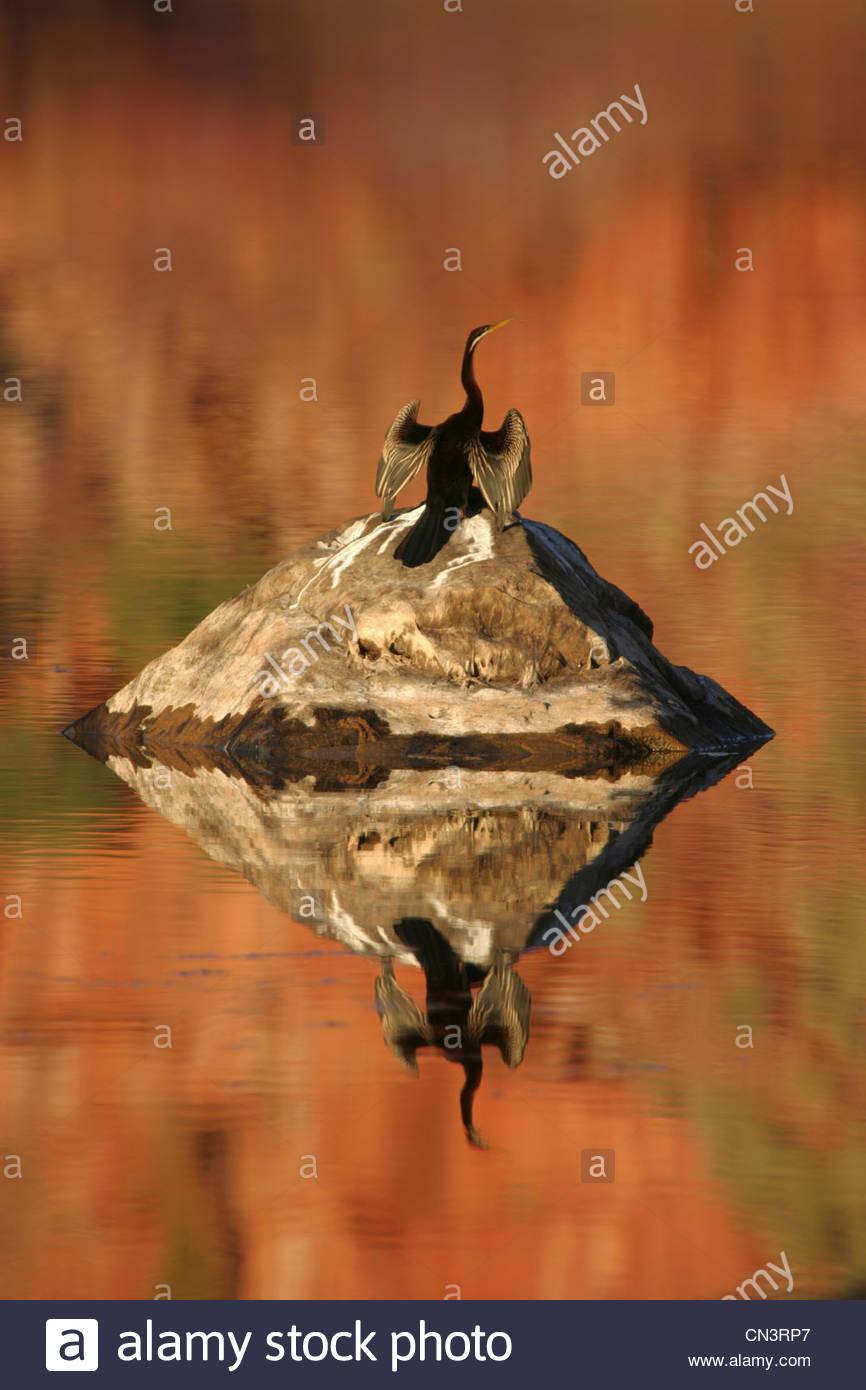 Un australiano darter drys sus alas en el sol después de una inmersión, el Mornington Santuario, Australia Imagen De Stock