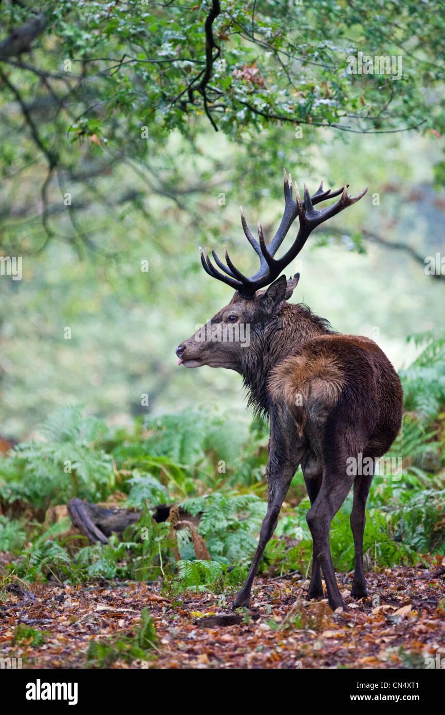 El ciervo rojo - Ciervo Cervus elaphus - retrato en el bosque, UK Foto de stock