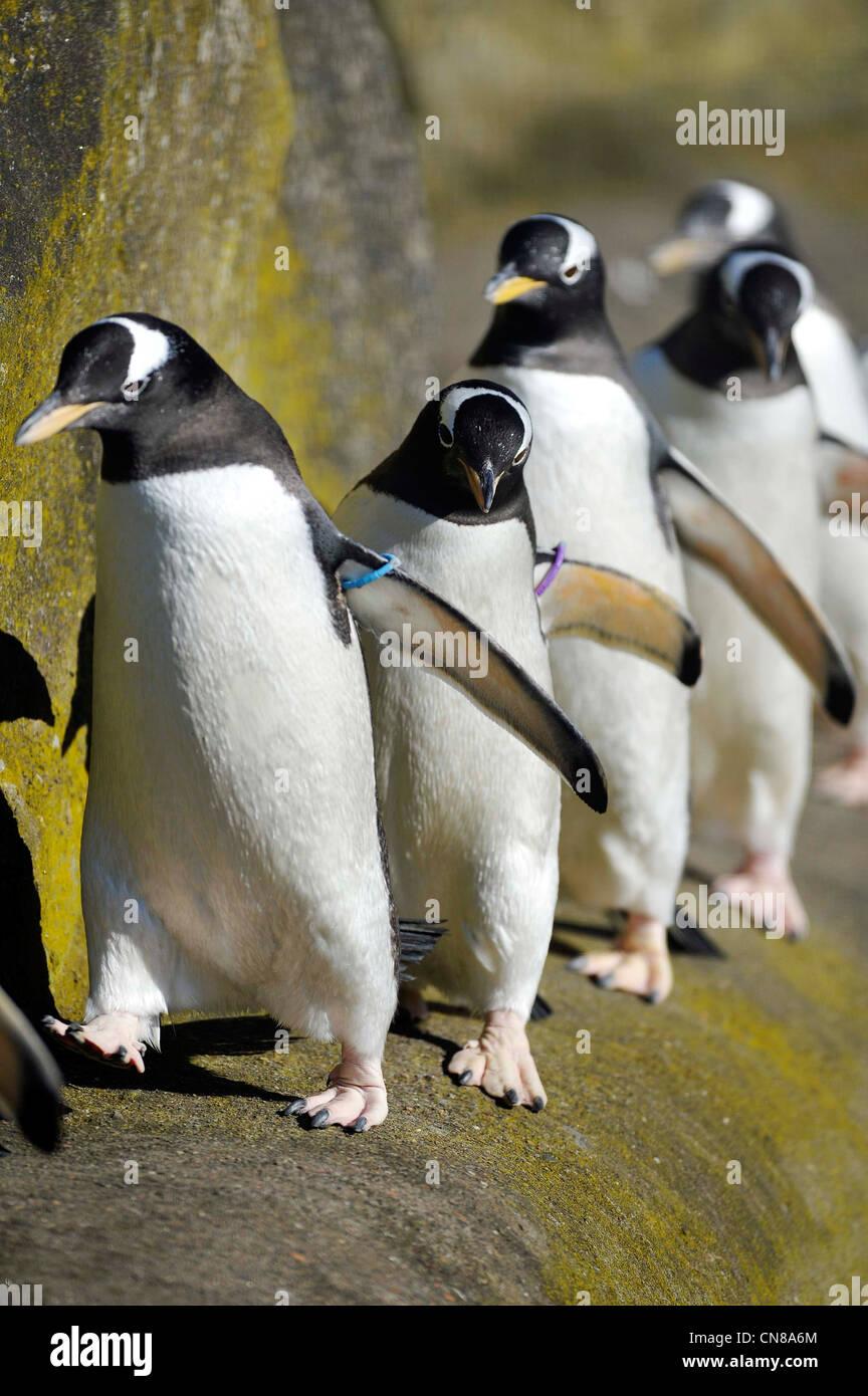 Pingüinos Gentoo en su gabinete en el Zoo de Edimburgo, Edimburgo, Escocia. Foto de stock