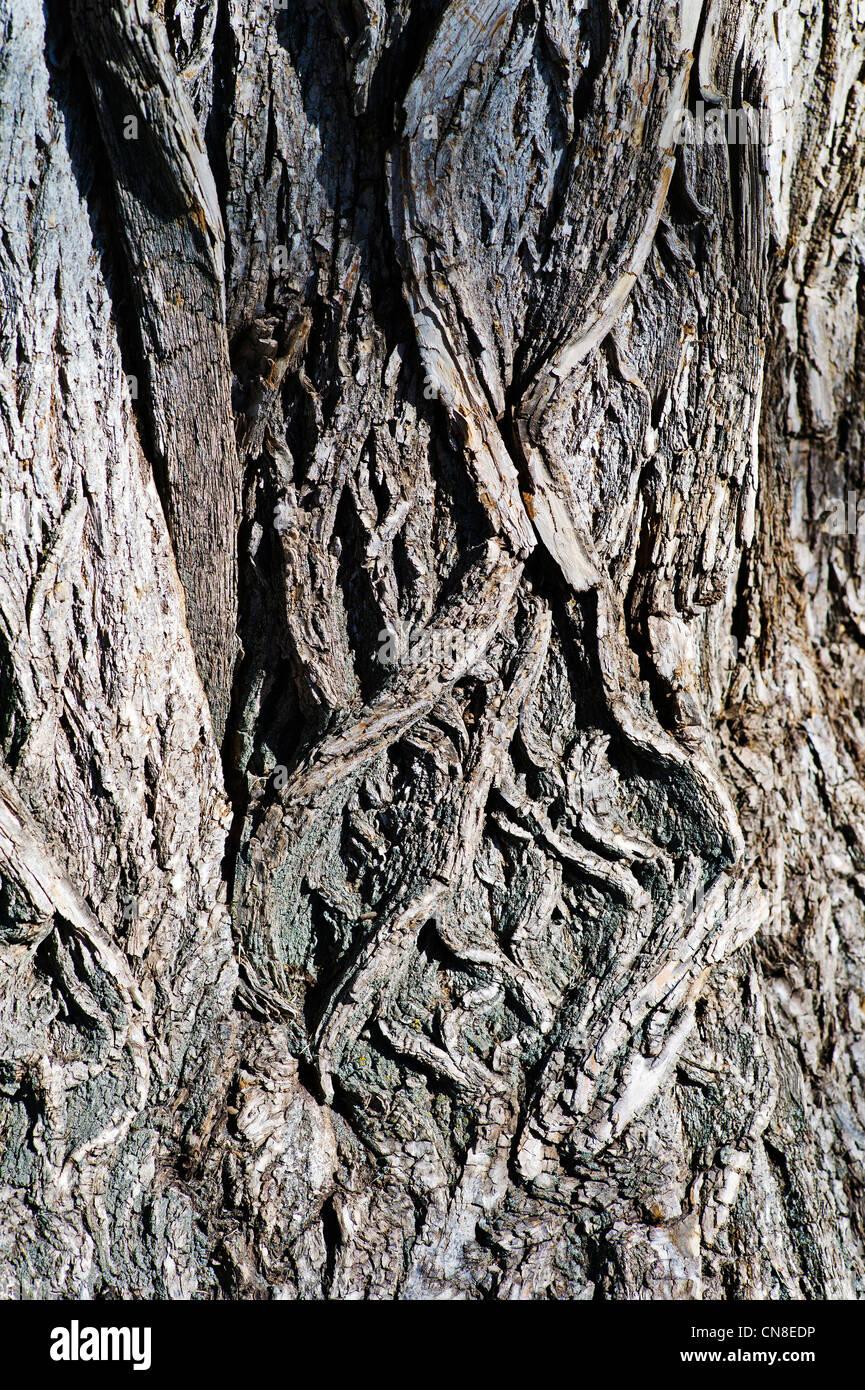 Textura rugosa corteza de viejos árboles de chopo (Populus deltoides); Riverside Park; Salida, Colorado, EE.UU. Imagen De Stock