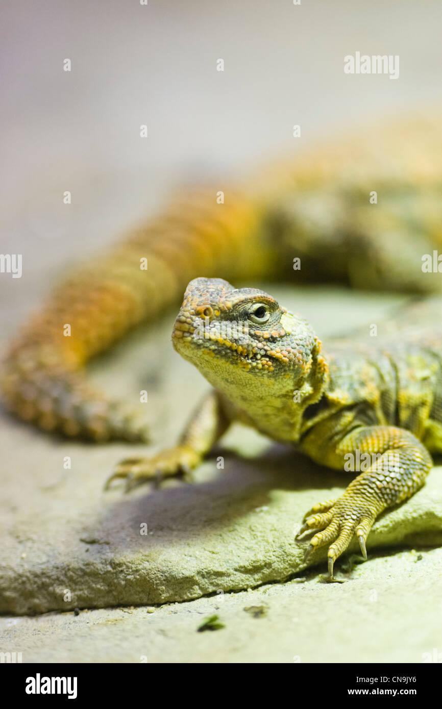 Sahara - lagarto Uromastyx geyri Dabb Foto de stock