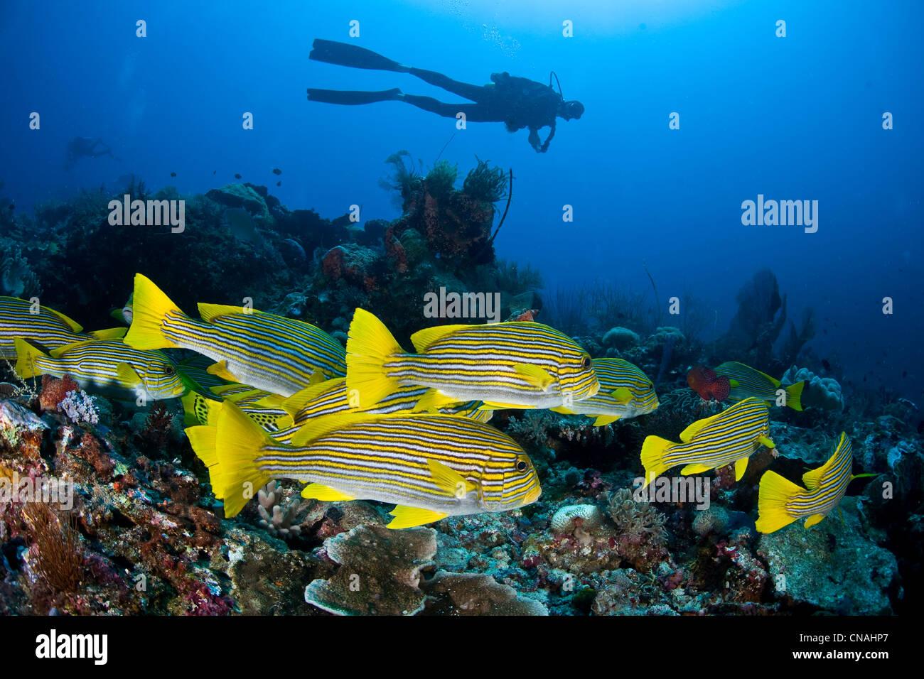 Una escuela de cinta, sweetlips Plectorhinchus polytaenia, descansar juntos durante el día y en la noche de Imagen De Stock
