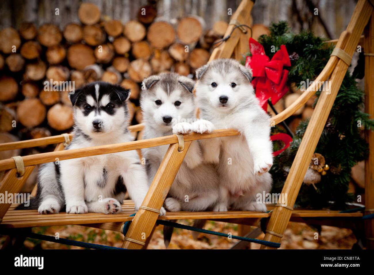 Husky Siberiano cachorros en perros de trineo de madera tradicionales con Navidad, Alaska Foto de stock