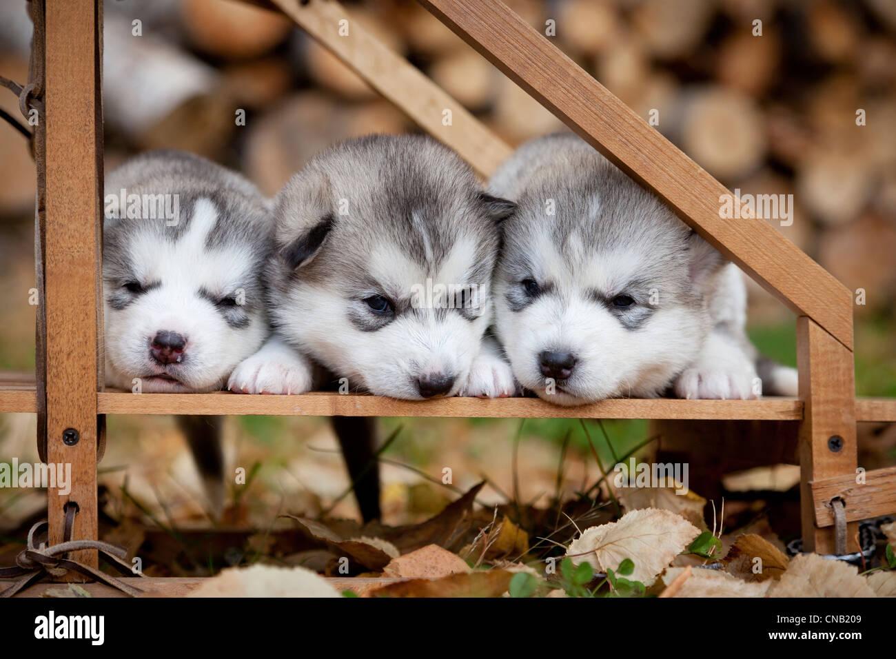 Pura Raza Siberian Husky cachorros de perros de trineo de madera pequeños, Alaska Foto de stock