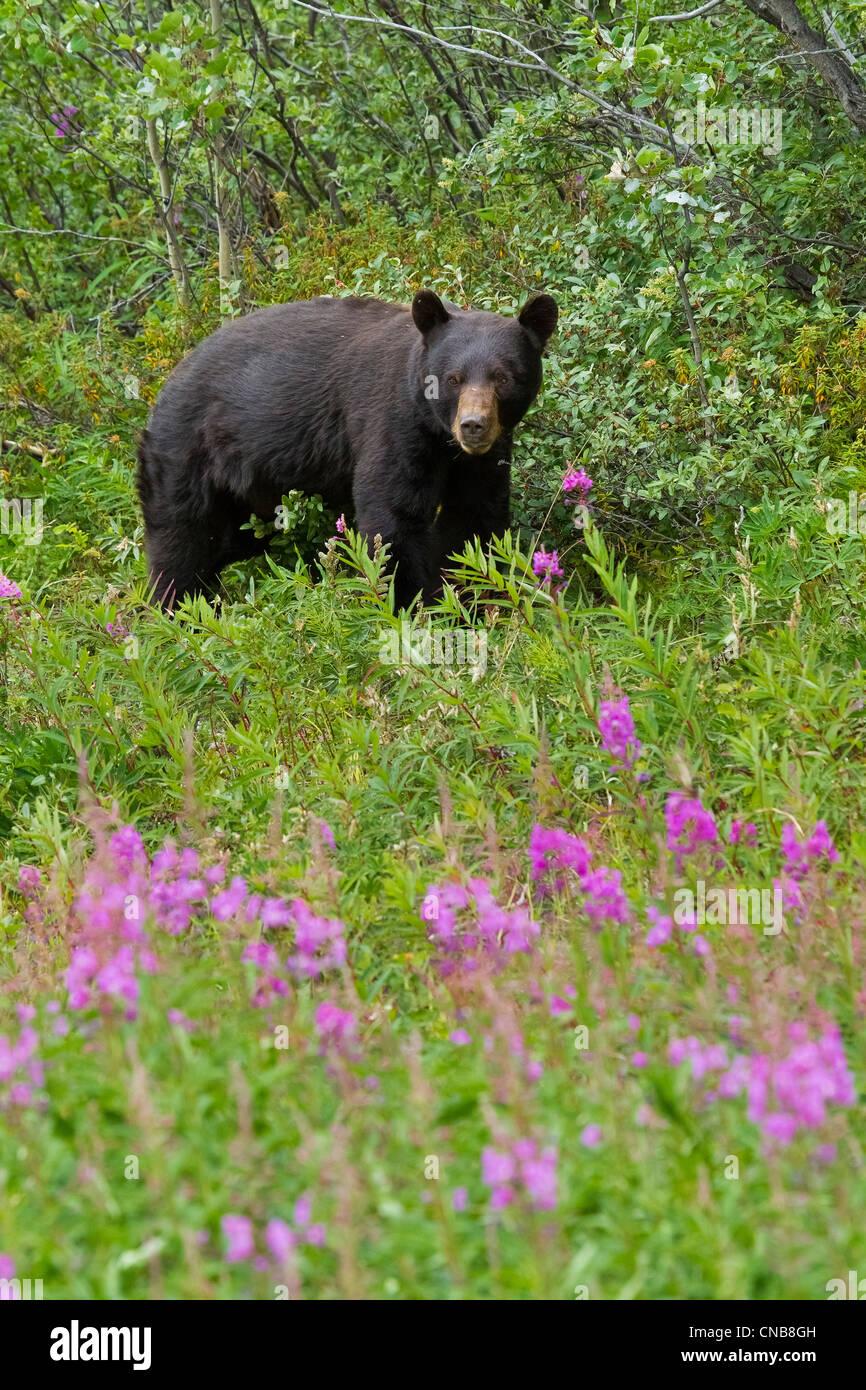 Un oso negro busca bayas de jabón a lo largo del río Tatshenshini Tatshenshini-Alsek Desierto, Territorio Imagen De Stock