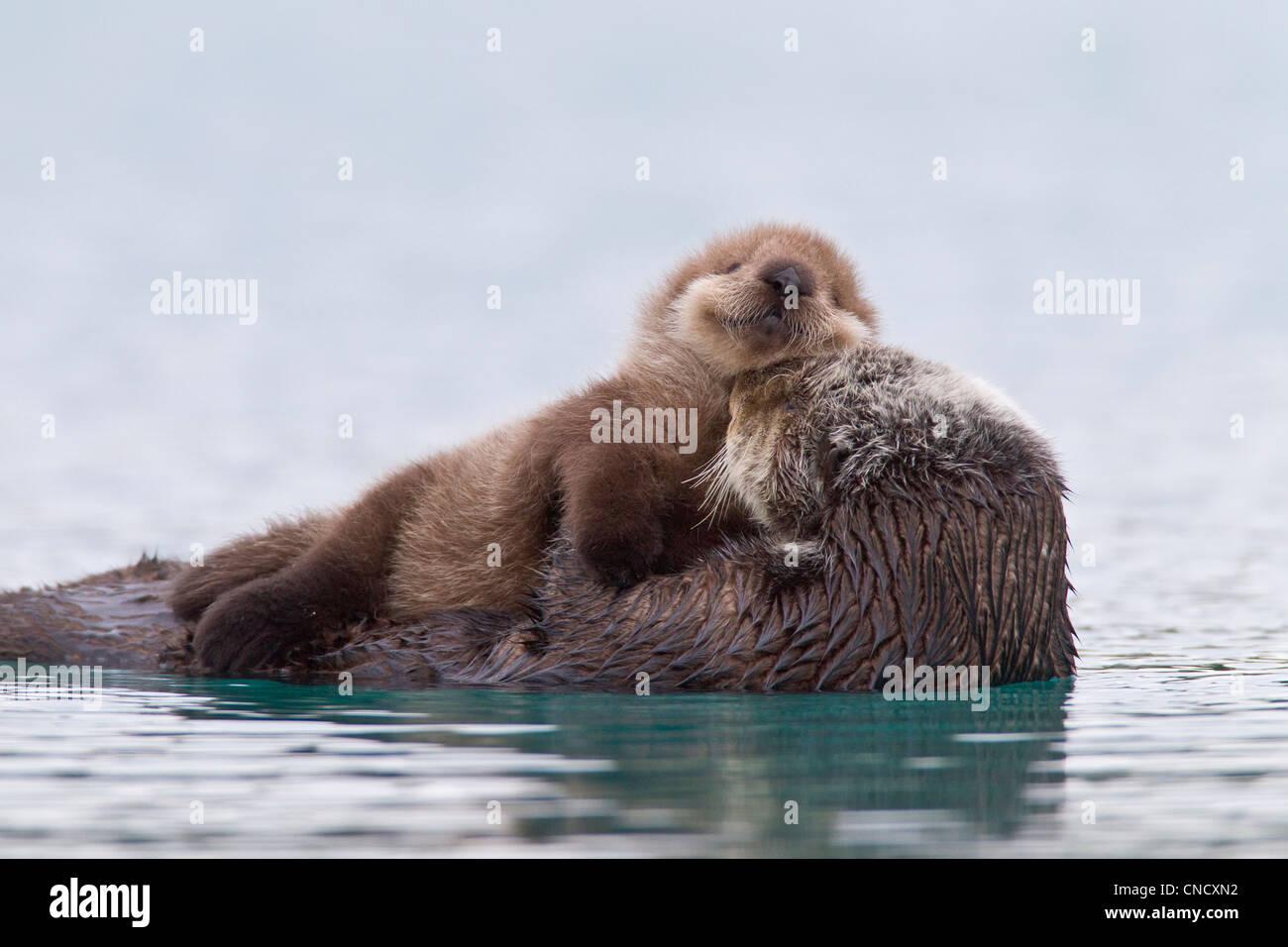 Hembra de nutria de mar recién pup cabalgando sobre su estómago, Prince William Sound, Alaska, Southcentral Imagen De Stock