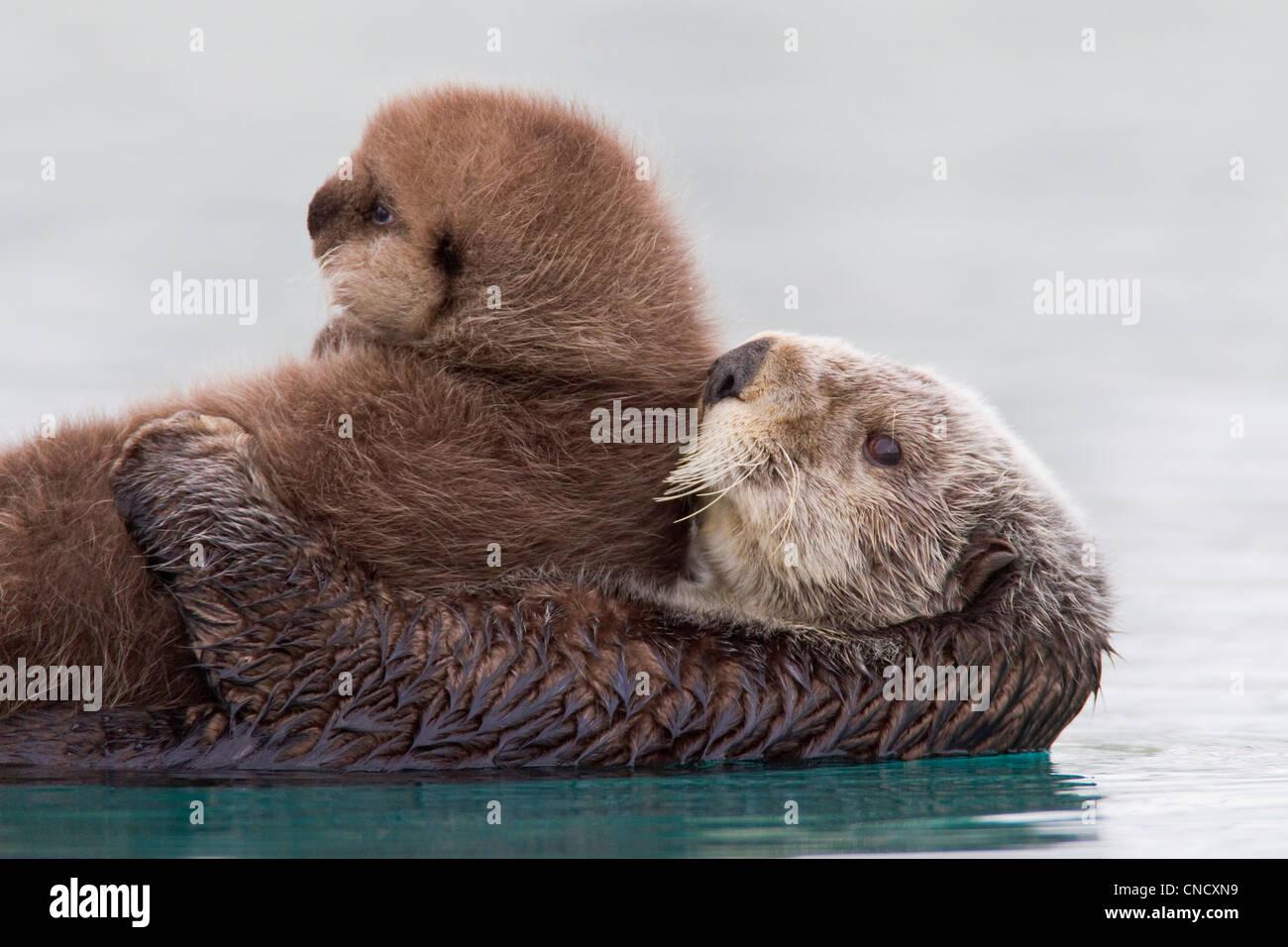 Hembra de nutria de mar celebración pup recién nacido fuera del agua, Prince William Sound, Alaska, Southcentral Foto de stock