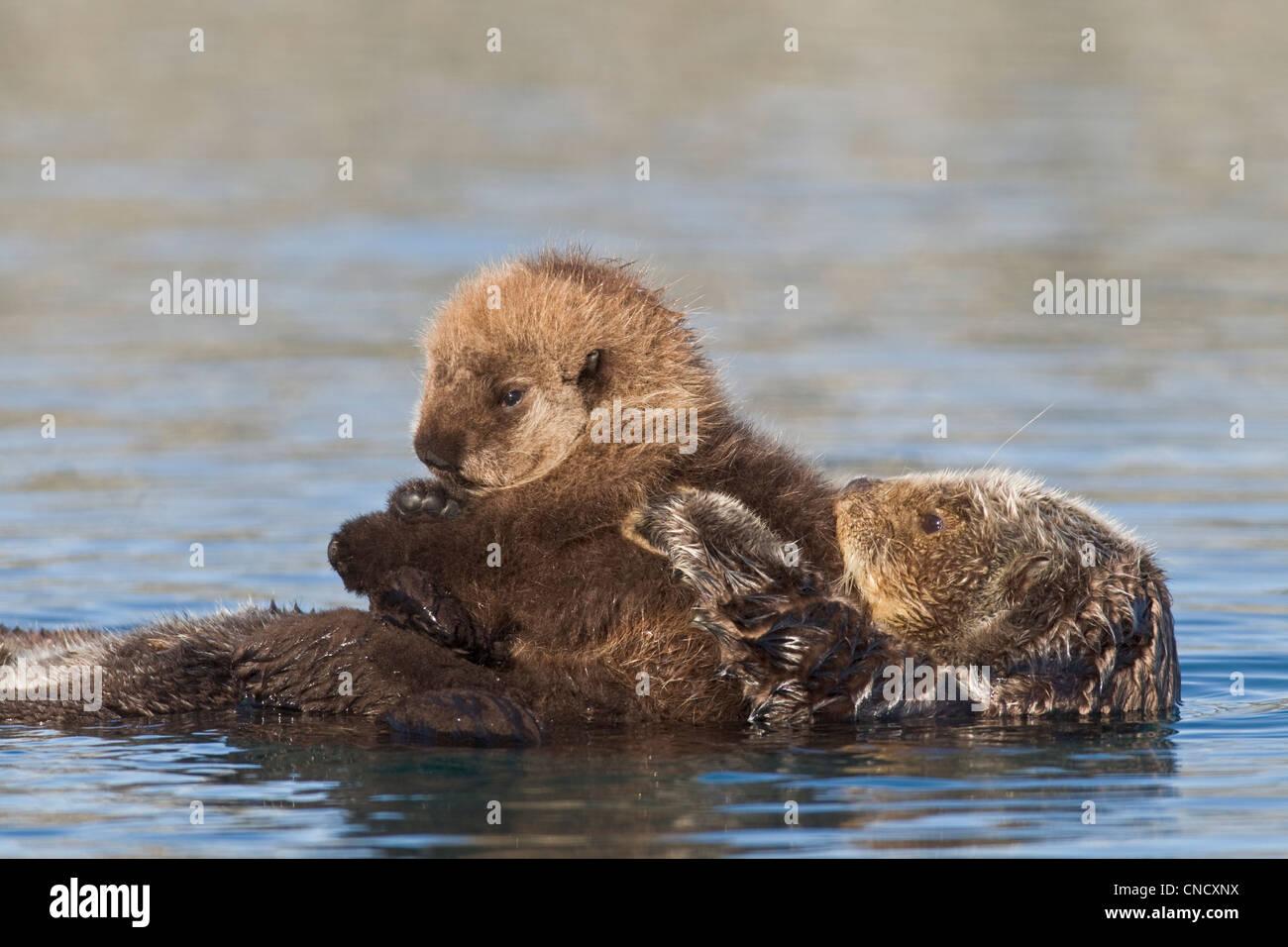 Hembra de nutria de mar recién pup cabalgando sobre su estómago, Prince William Sound, Alaska, Southcentral invierno Foto de stock