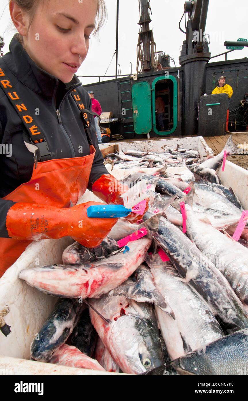 Ocean Beauty Seafoods realiza el control de calidad de los salmones sockeye a bordo de una licitación en la Imagen De Stock