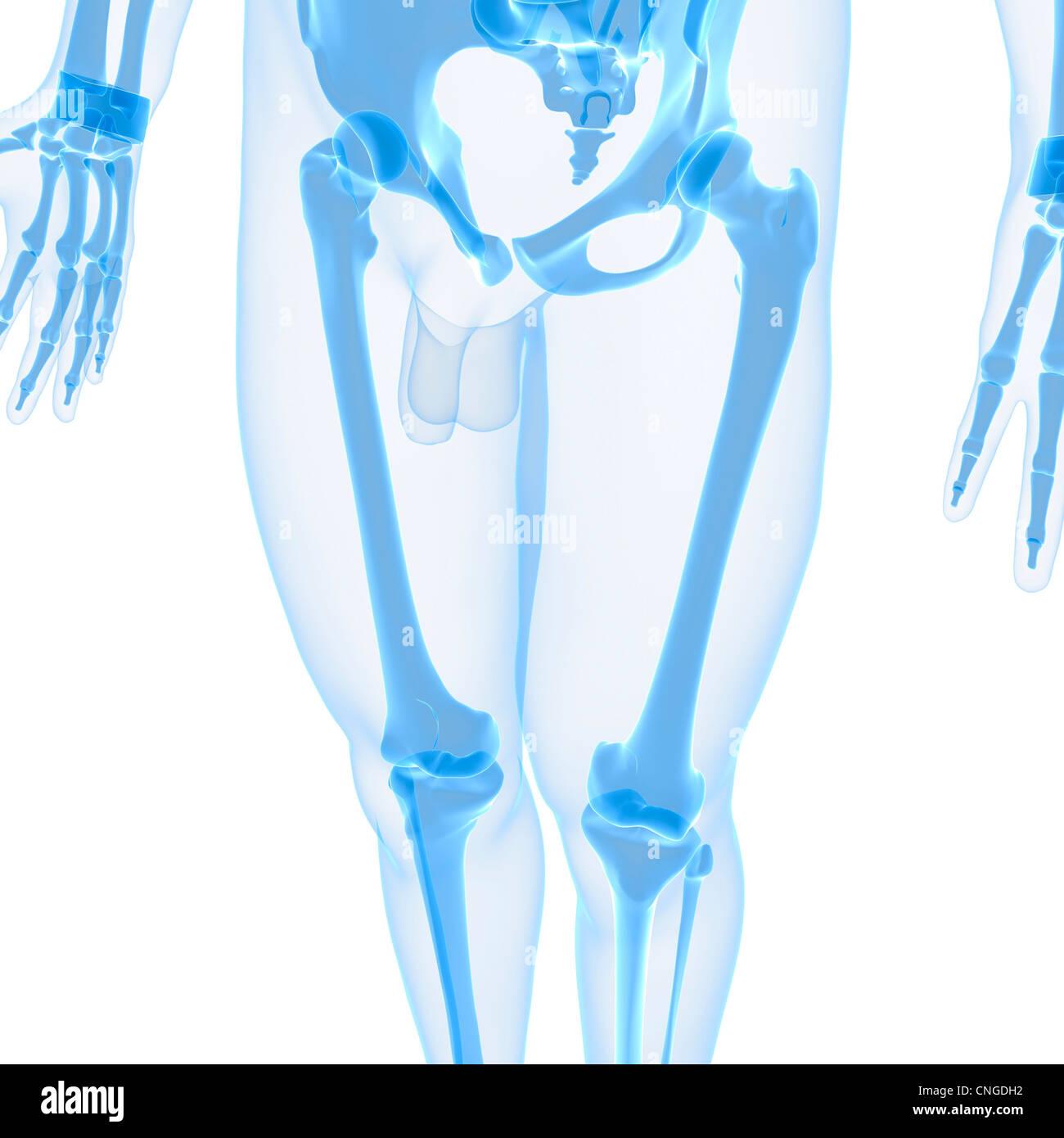 Magnífico Huesos De La Pierna Foto Molde - Imágenes de Anatomía ...