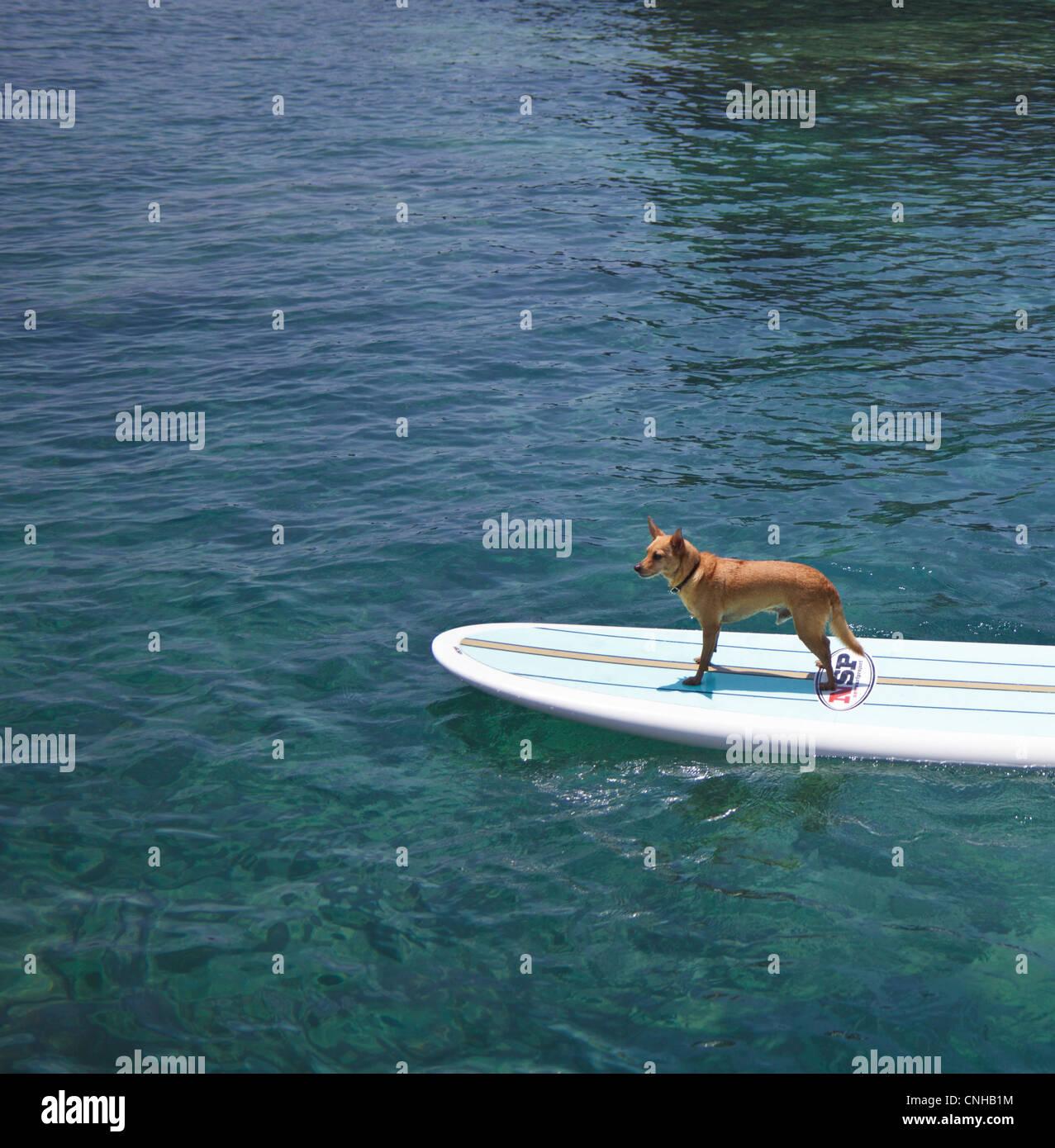 Perro llamado Menehune en stand up paddleboard en la Isla Grande de Hawai Foto de stock