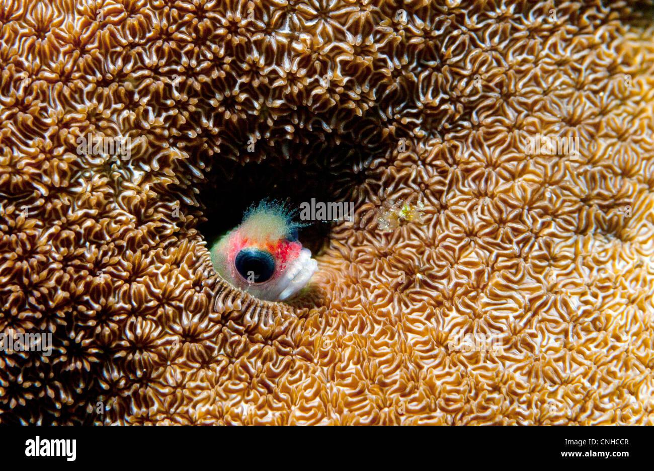 Un blenny palitos de pescado su cabeza a través de un orificio en un arrecife de coral frente a las costas de Coiba, Foto de stock