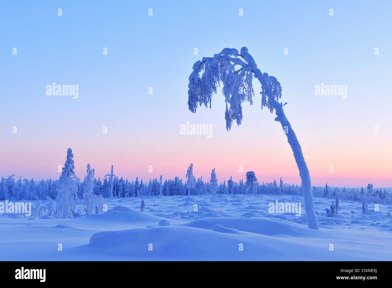 Árbol cubierto de nieve al atardecer, Nissi, Ostrobotnia Septentrional, Finlandia Foto de stock