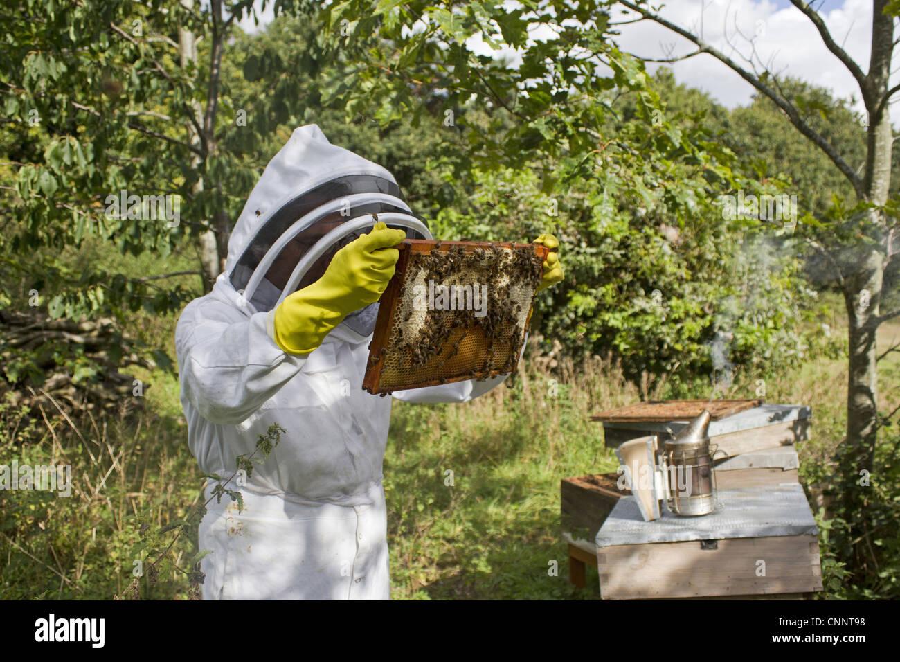 Apicultura apicultor inspeccionando Western miel de abejas Apis ...
