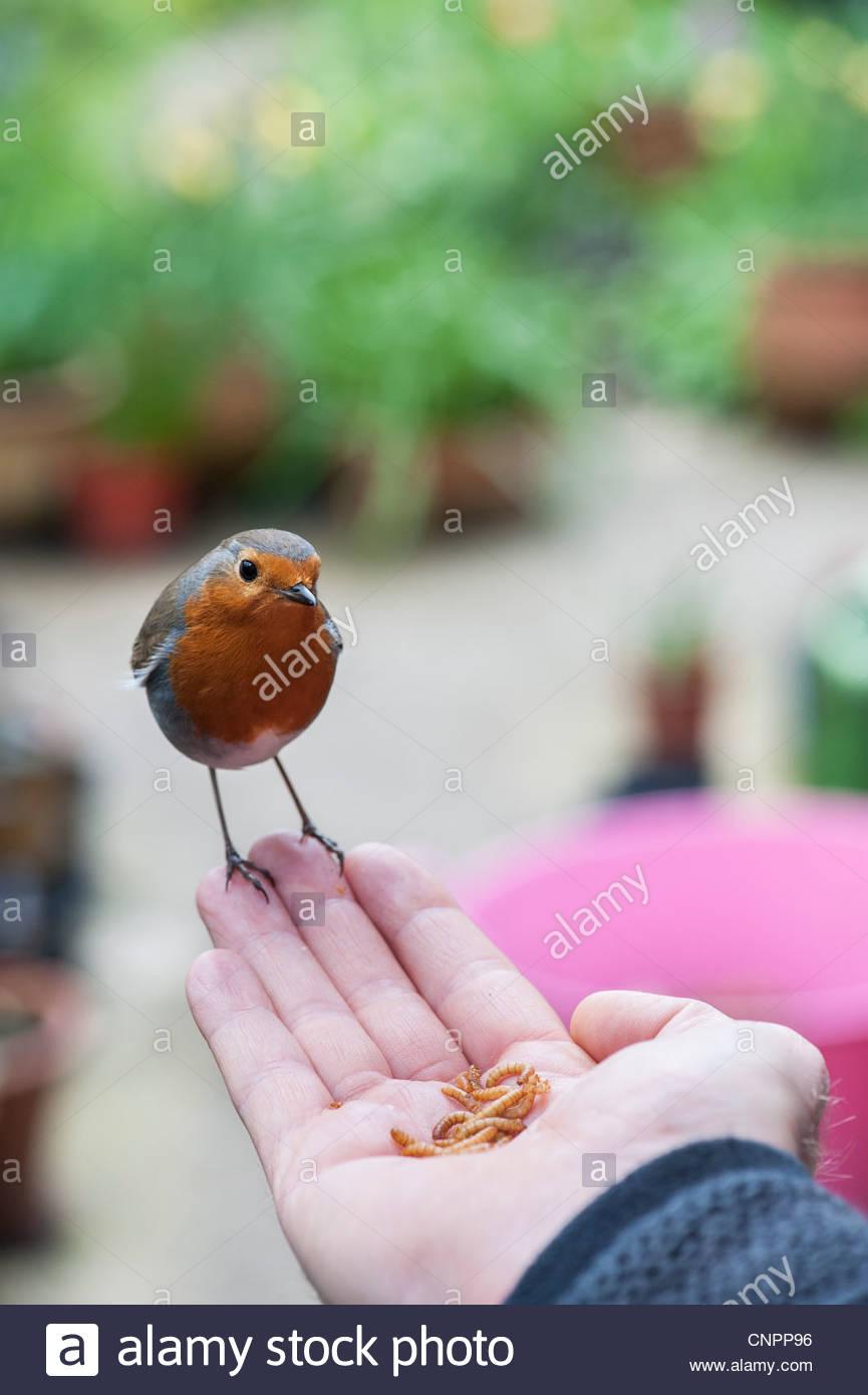 Robin alimentándose de gusanos de la mano de un hombre Imagen De Stock