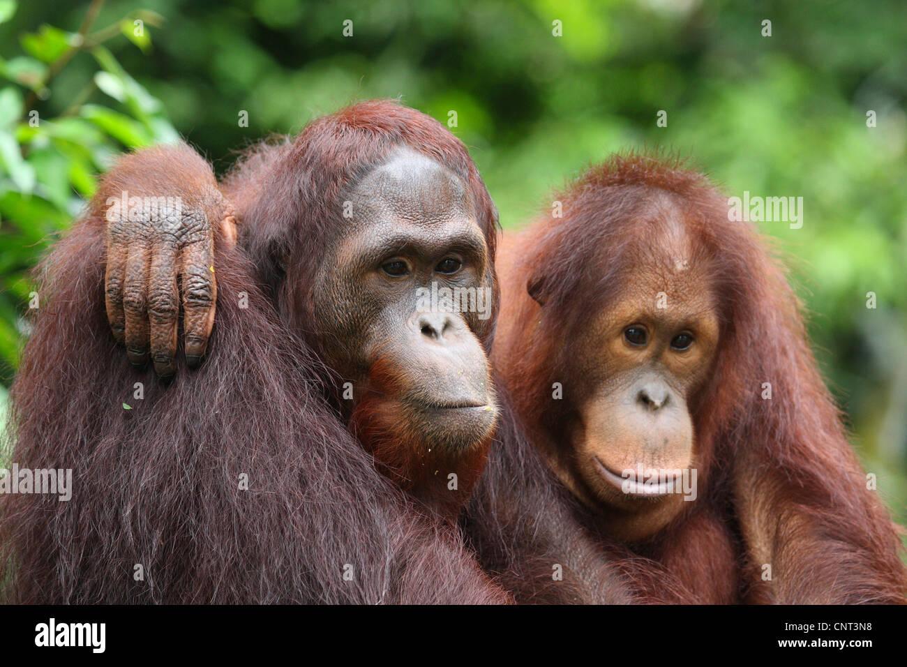 Orangután, orangután, orang-outang (Pongo pygmaeus), dos individuos abrazos Foto de stock