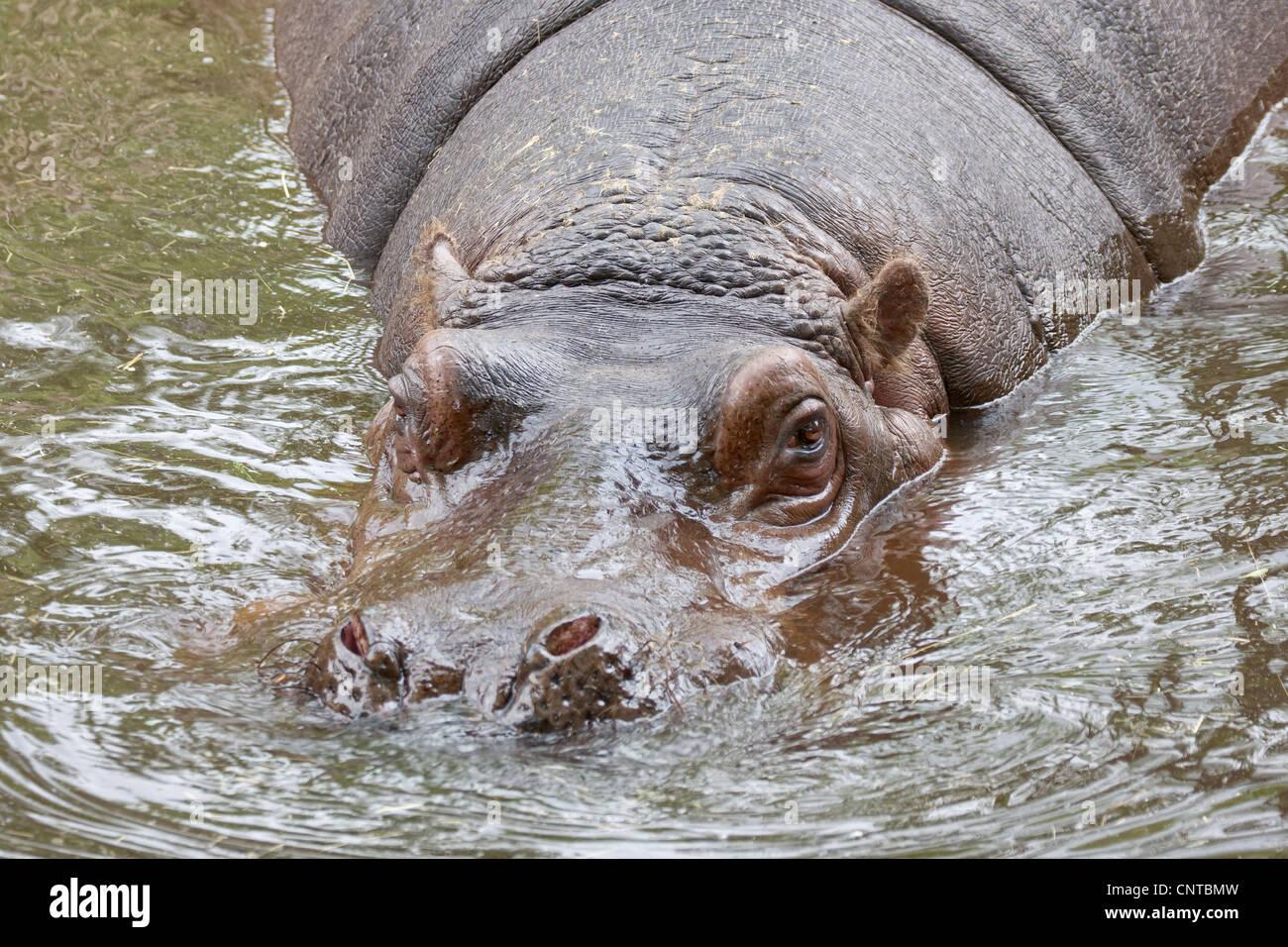 Hipopótamo nadar en el agua del río vista frontal Imagen De Stock