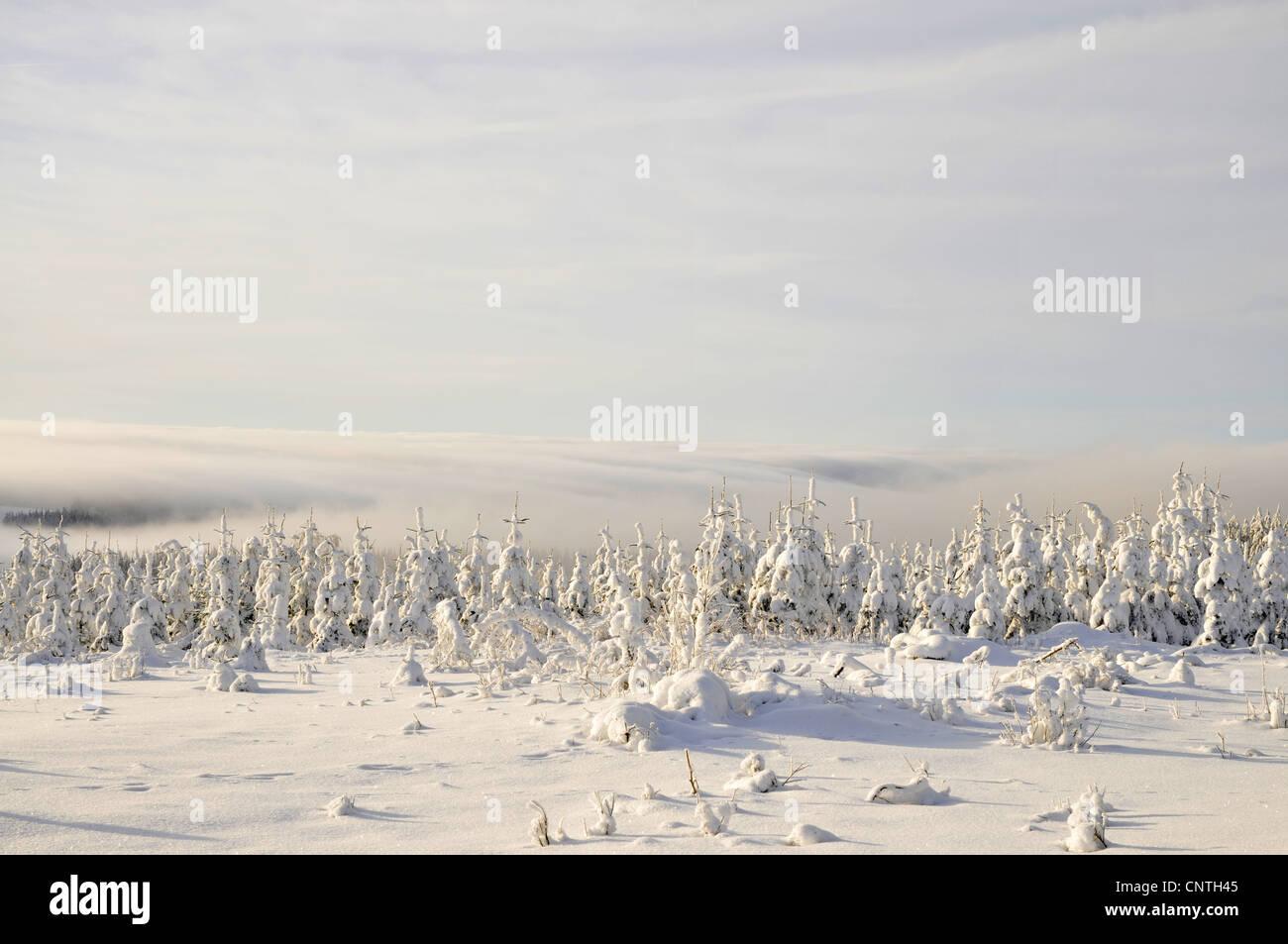 La niebla sobre plantaciones forestales jóvenes cubiertos de nieve, en Alemania, en Renania del Norte-Westfalia, Imagen De Stock