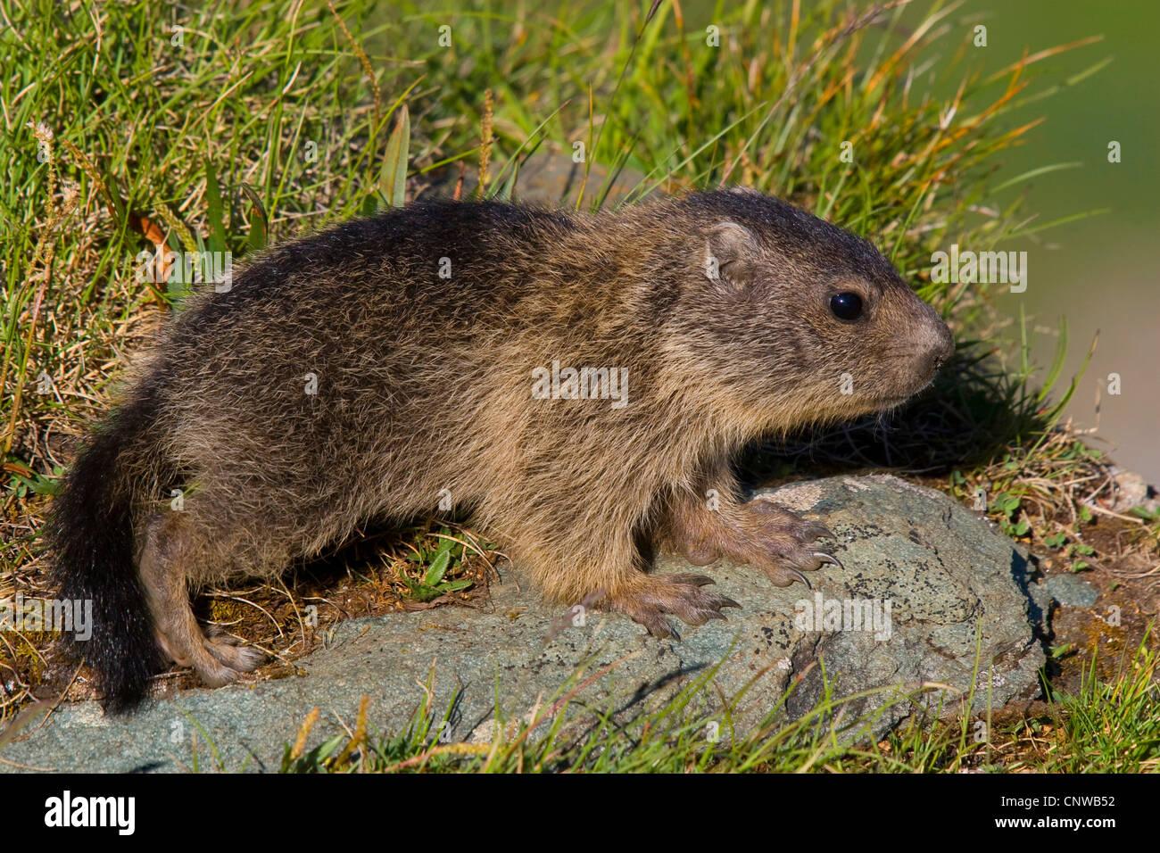 La marmota alpina (Marmota marmota), juvenil de pie sobre una piedra a la orilla del agua, Austria, Parque Nacional Imagen De Stock