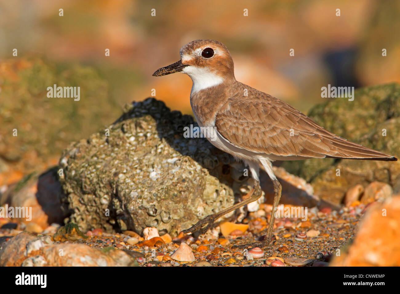 Gran arena patinegro (Charadrius leschenaultii), en la alimentación, Omán Imagen De Stock