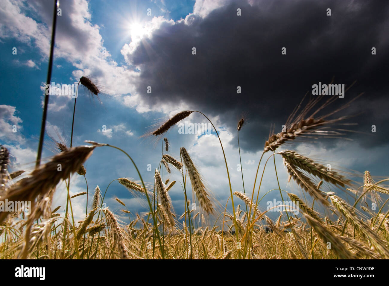 Cebada (Hordeum vulgare), campo de maíz bajo aumento de los nubarrones, Alemania, Brandeburgo, Vogtlaendische Imagen De Stock
