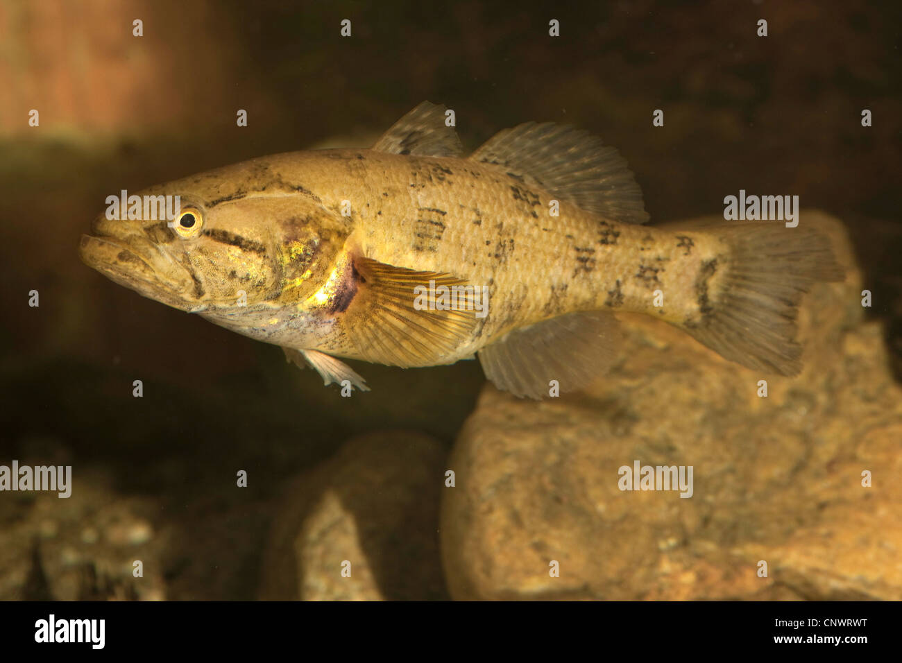 (Perccottus Perccottus glenii glenii), flotando en frente de Río Piedras Imagen De Stock