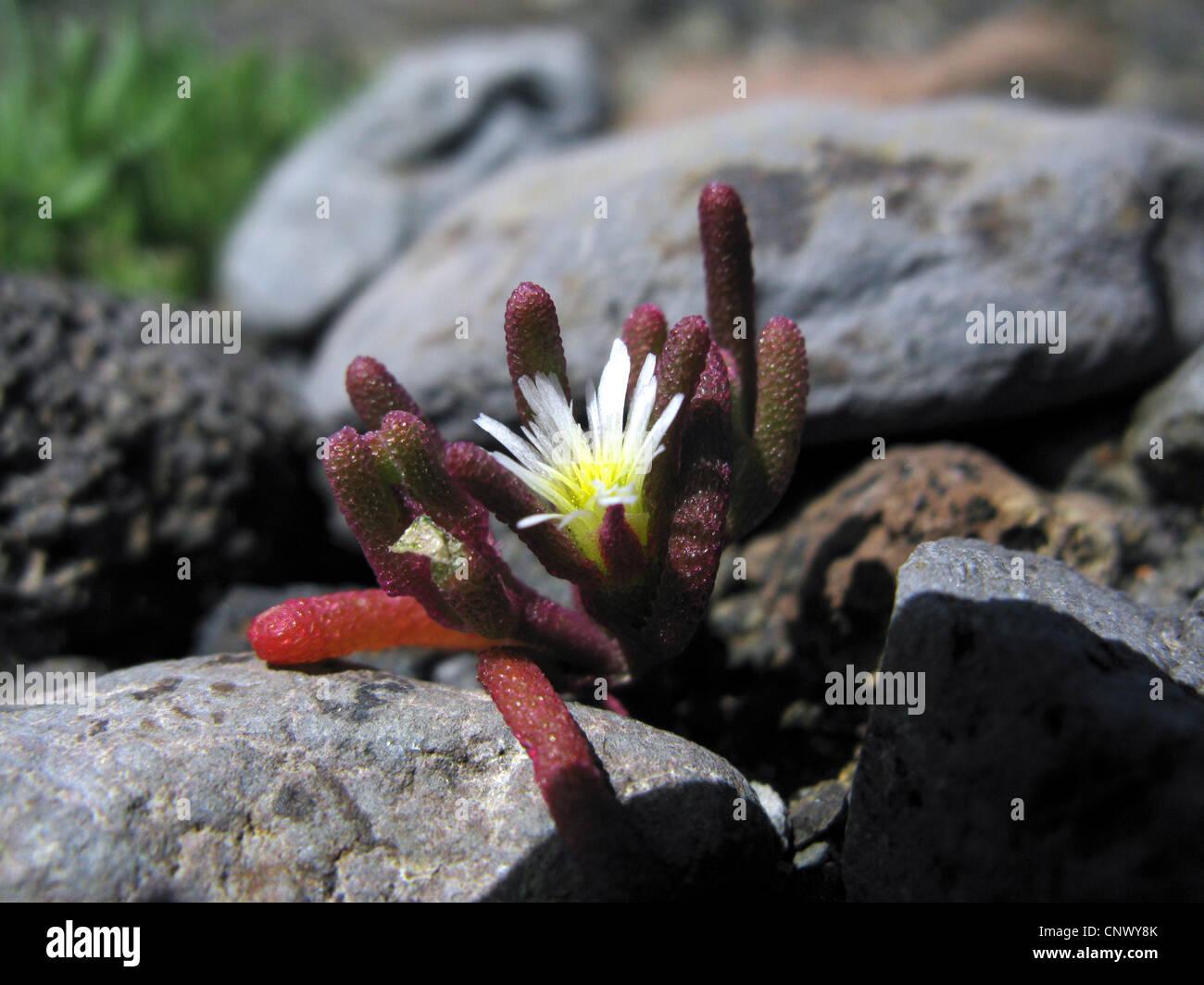 Planta de hielo Slender-Leaved (Mesembryanthemum nodiflorum), florece entre las piedras, La Gomera, Islas Canarias Imagen De Stock