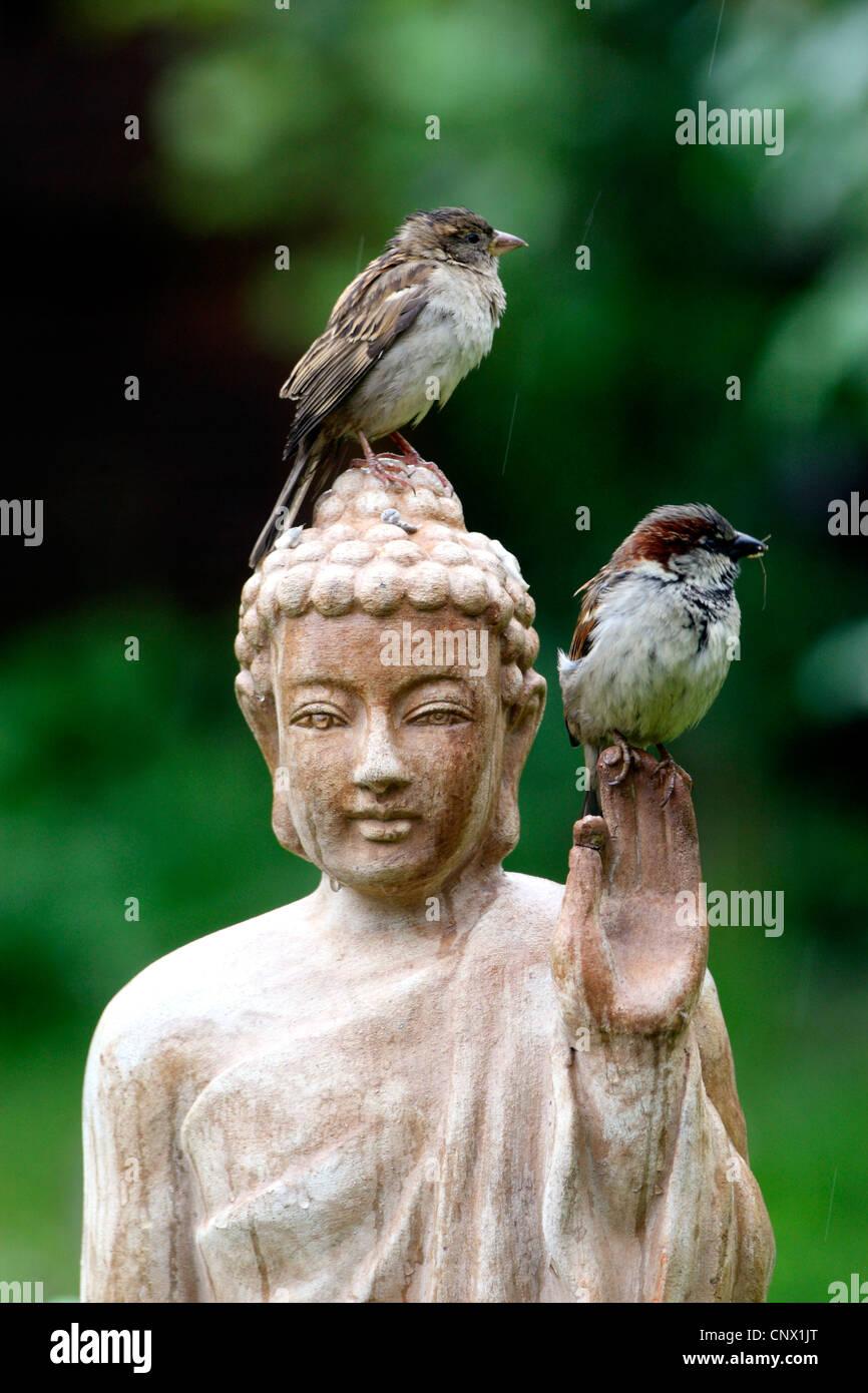 Gorrión (Passer domesticus), dos pájaros sentados en la cabeza de una estatua de Buda de terracota en el jardín , Alemania Foto de stock