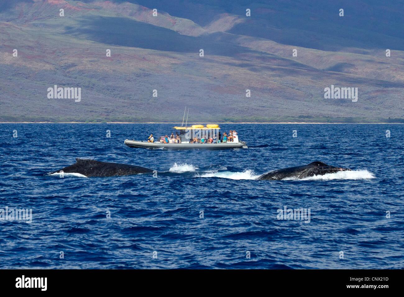 La ballena jorobada (Megaptera novaeangliae), Observación de Ballenas, barco turístico junto a las ballenas twi, EE.UU., Hawai, Maui Foto de stock