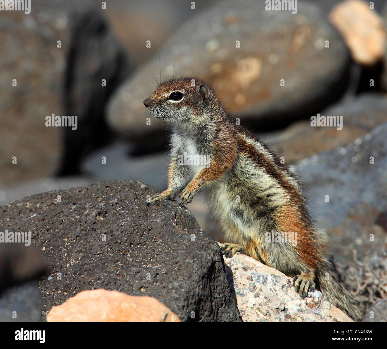 Suslik barbary, del norte de África suslik (Atlantoxerus getulus), escalada sobre piedras, Islas Canarias, Imagen De Stock