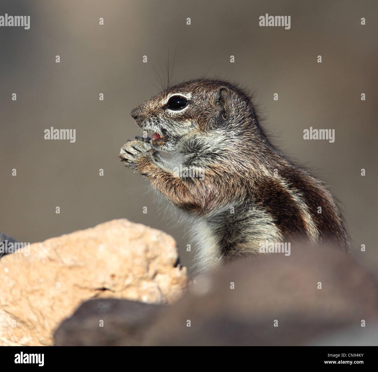 Suslik barbary, del norte de África suslik (Atlantoxerus getulus), situándose entre las piedras de alimentación, Imagen De Stock