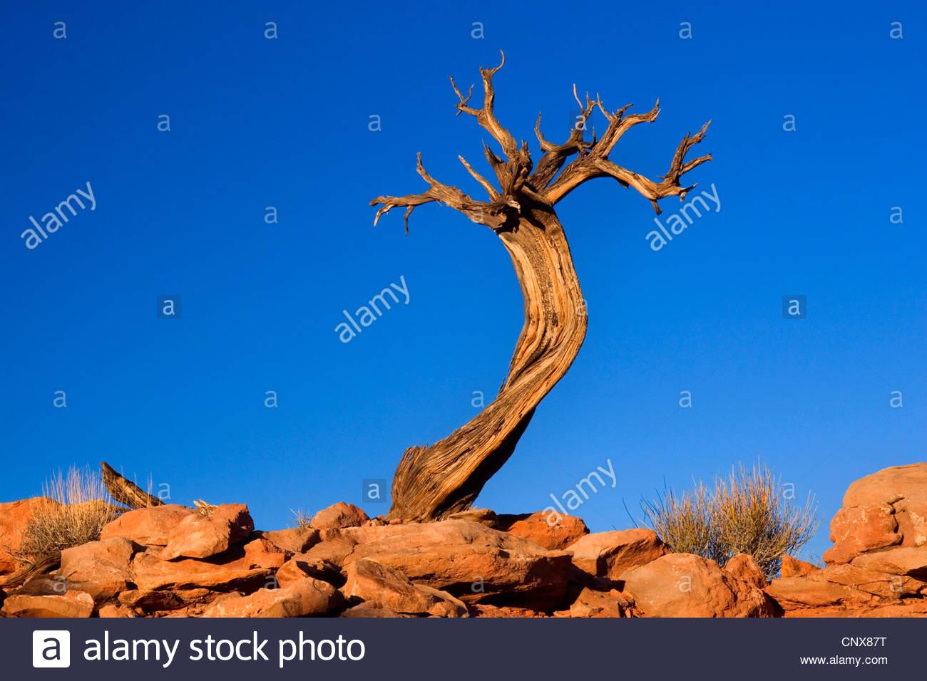 Pinyon (Pinus edulis), muerto poco Pinyon crecen fuera de la tierra rocosa , Estados Unidos, Utah, el Parque Nacional Imagen De Stock