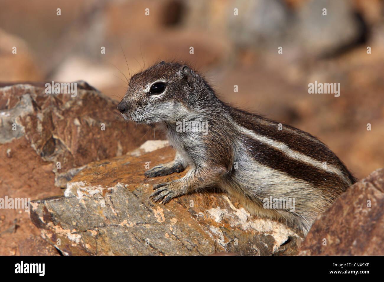 Suslik barbary, del norte de África suslik (Atlantoxerus getulus), sentado entre piedras, Fuerteventura, Islas Imagen De Stock