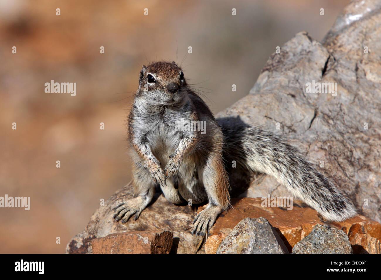 Suslik barbary, del norte de África suslik (Atlantoxerus getulus), sentado sobre una roca, islas Canarias, Imagen De Stock