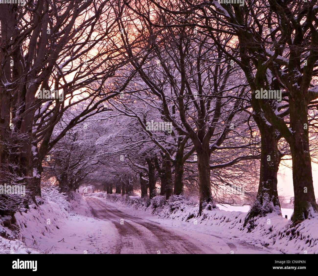 Lane arbolada en nieve, Exmoor, Somerset, Inglaterra. Invierno (enero de 2012). Foto de stock