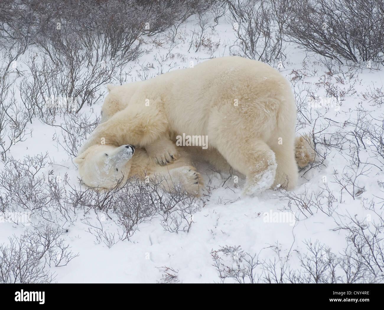 Los osos polares luchando en la nieve, Churchill, Canadá Imagen De Stock