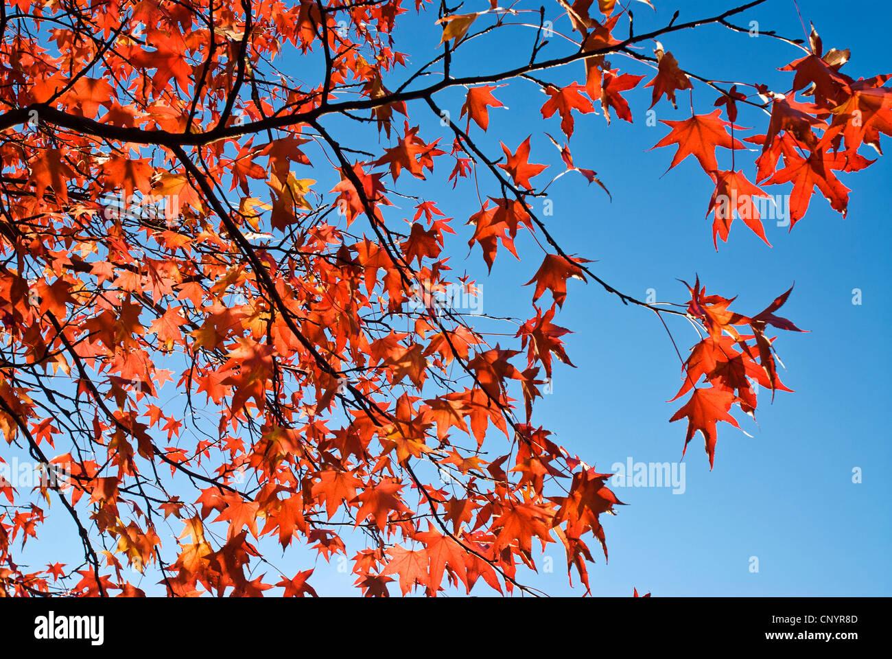 Hojas rojas en otoño con el cielo azul de fondo. Imagen De Stock