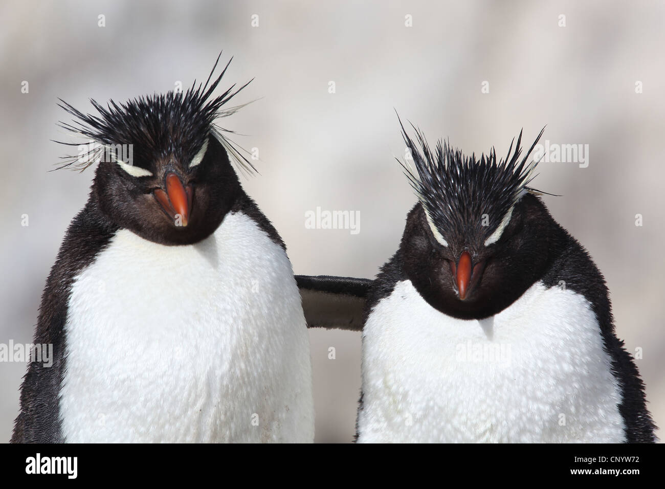 Pingüinos de Penacho Amarillo (Eudyptes chrysocome), abrazando, Argentina, Isla Pingüino Imagen De Stock